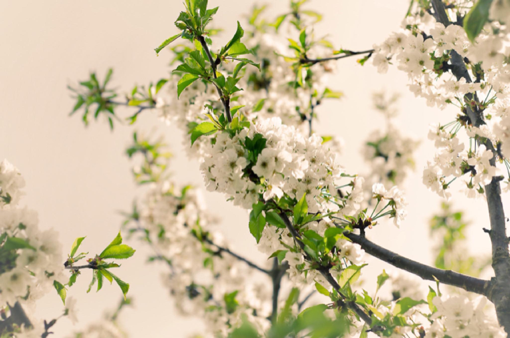 Cherry Blossom by Ricardo Barata