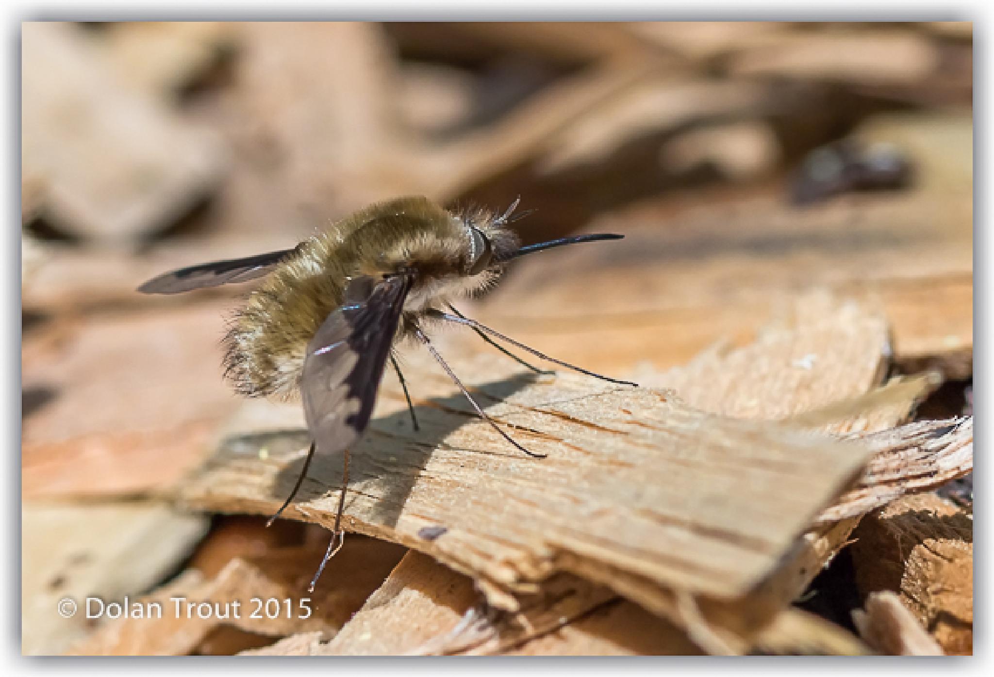 Photo in Macro #alabama nature center #bee fly #bombyliidae #lanark