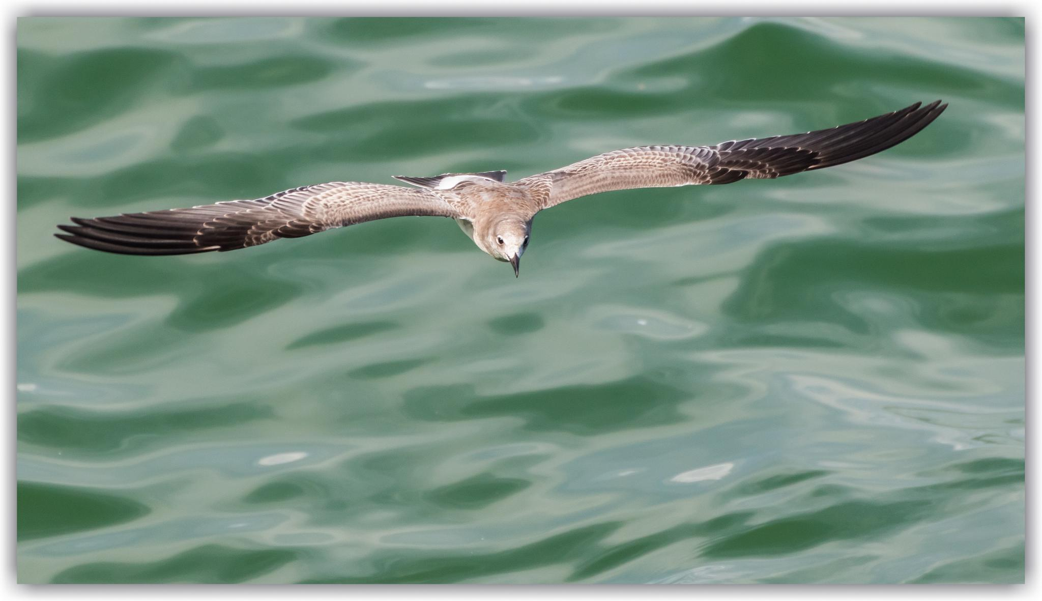 Laughing Gull (First year) by bluesydude