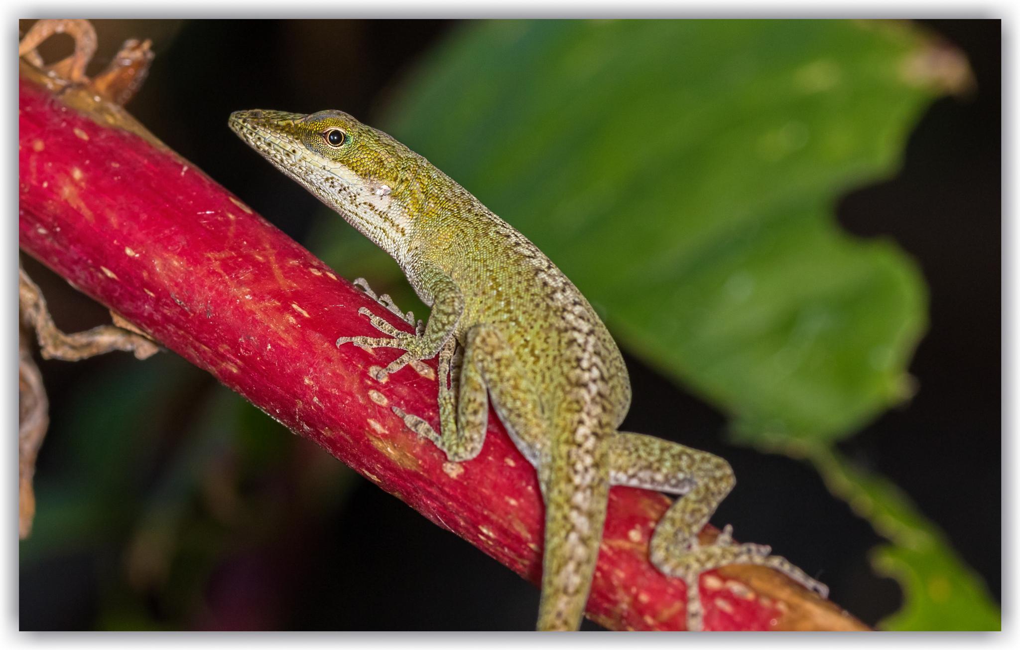 Anole lizard by bluesydude