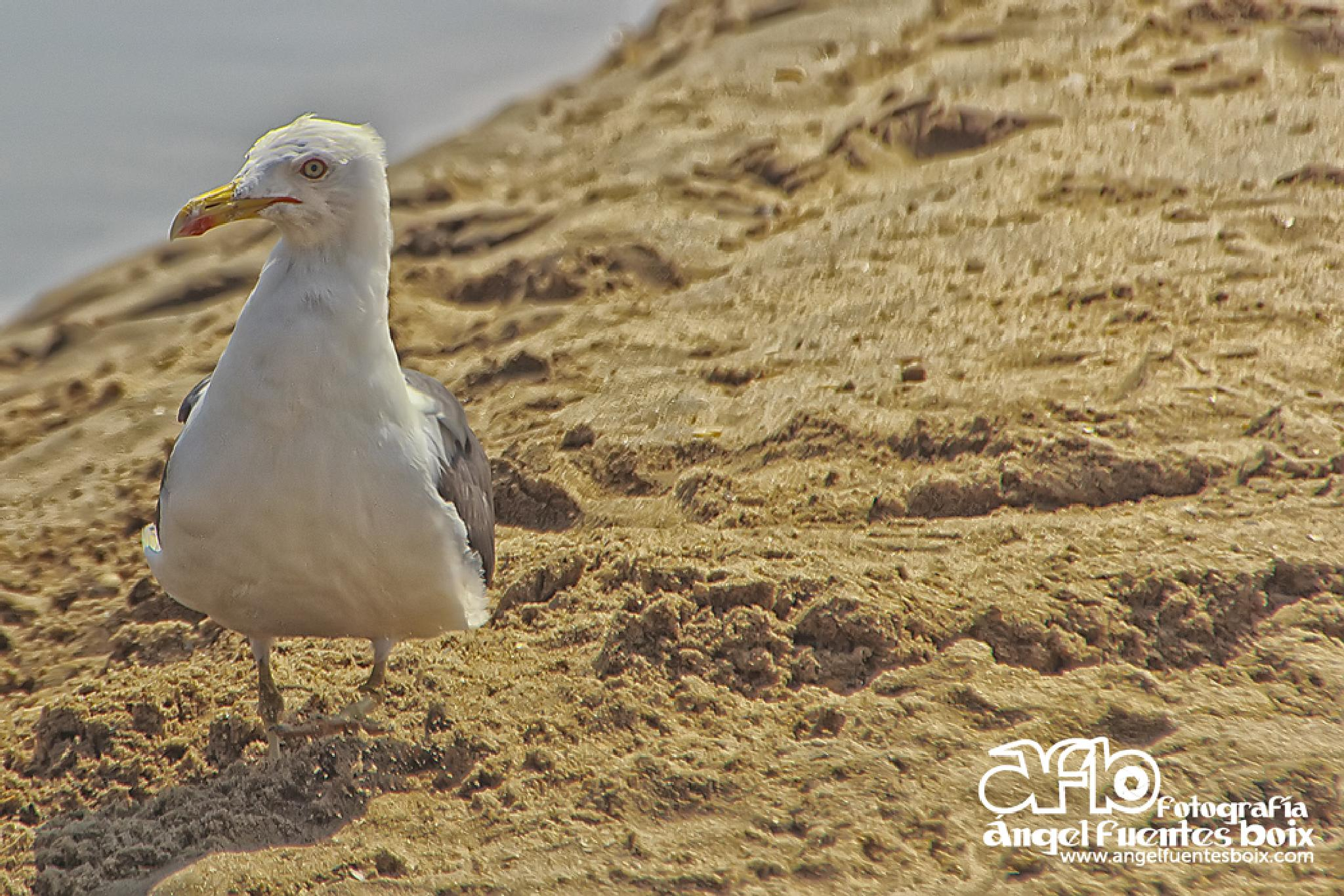 GAVIOTA by angel.fuentesboixFotografia