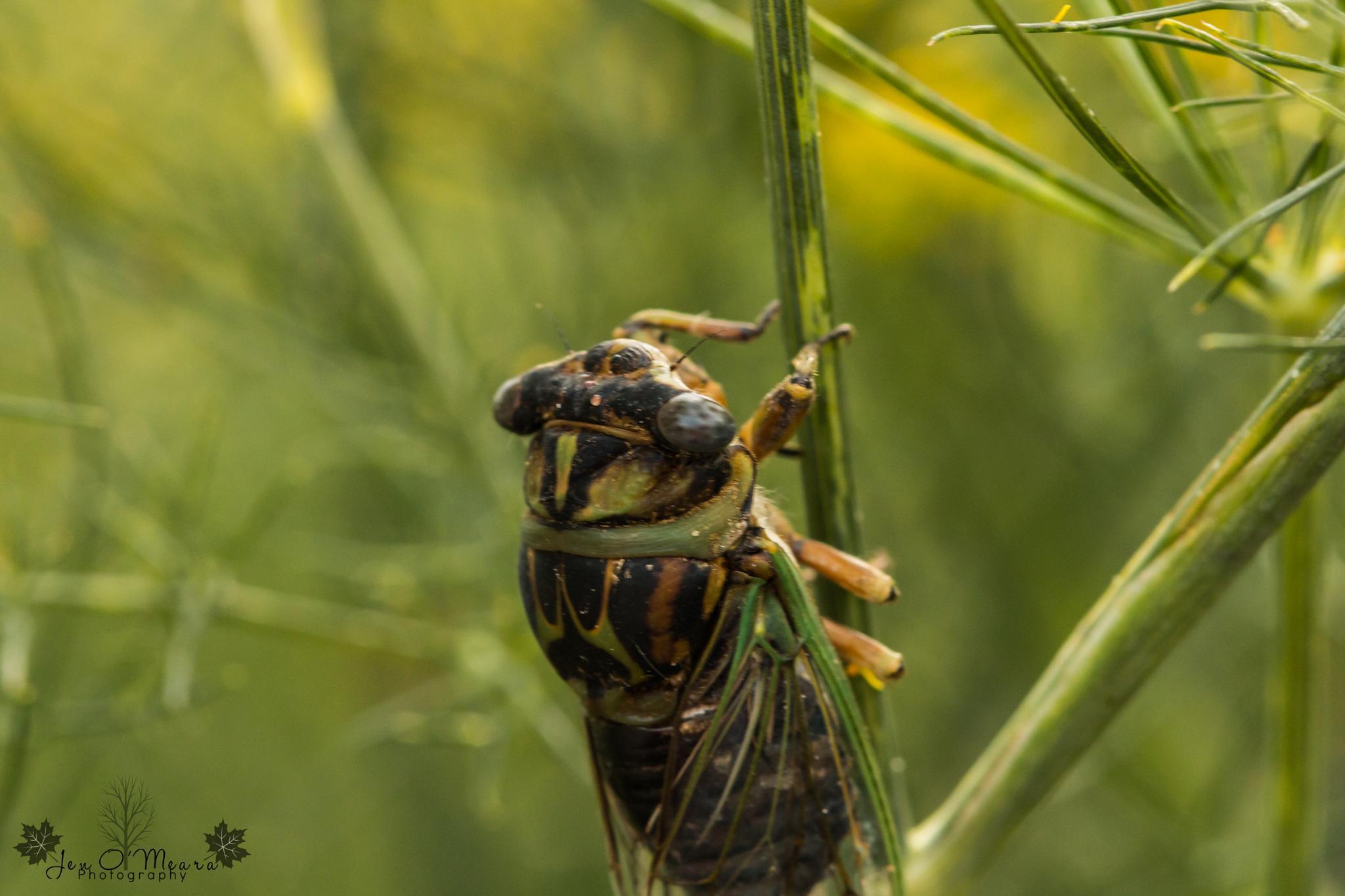 Cicada by Jen O'Meara