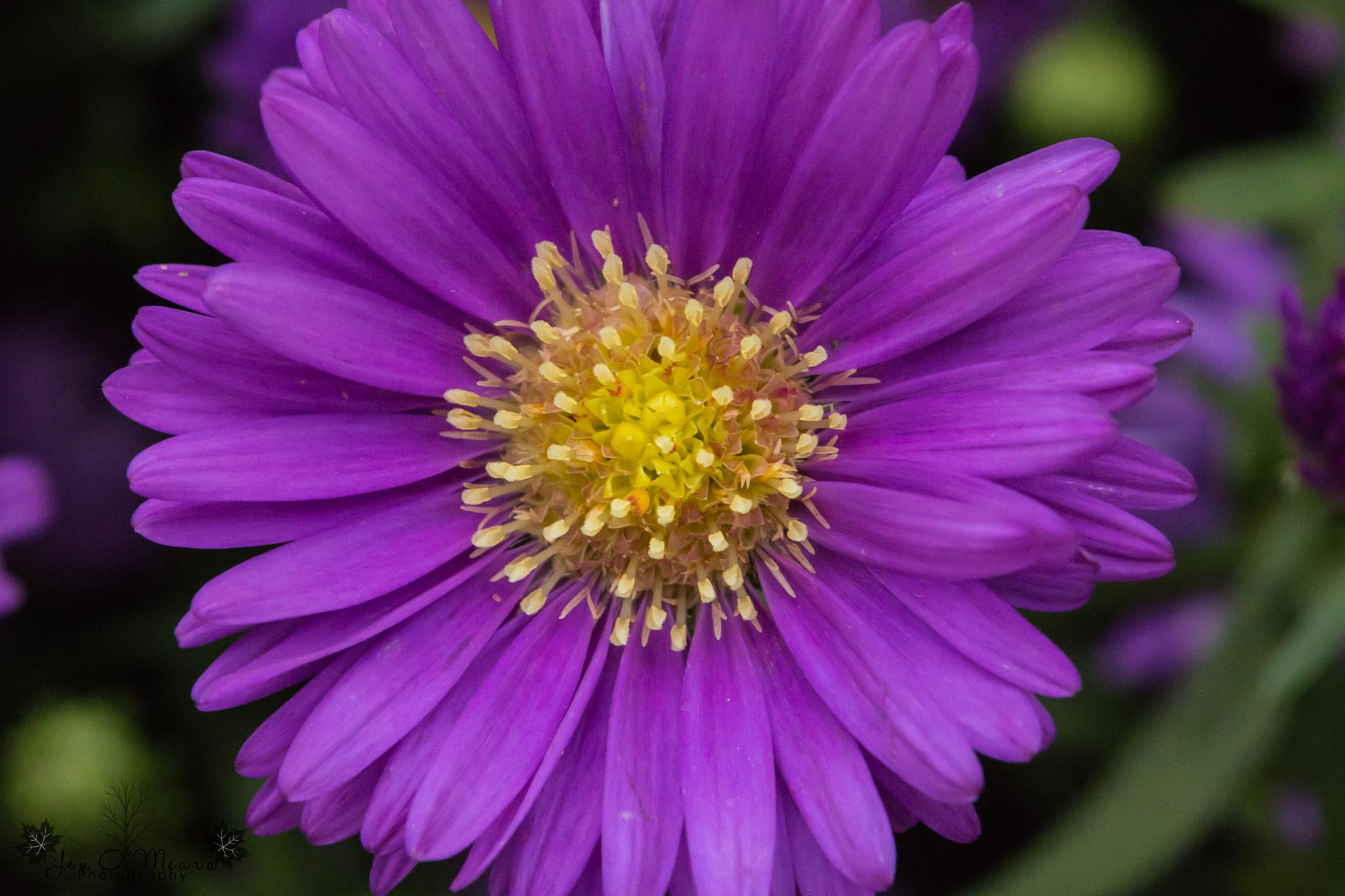 Photo in Macro #macro #close up #flowers #aster #aster tataricus #purple