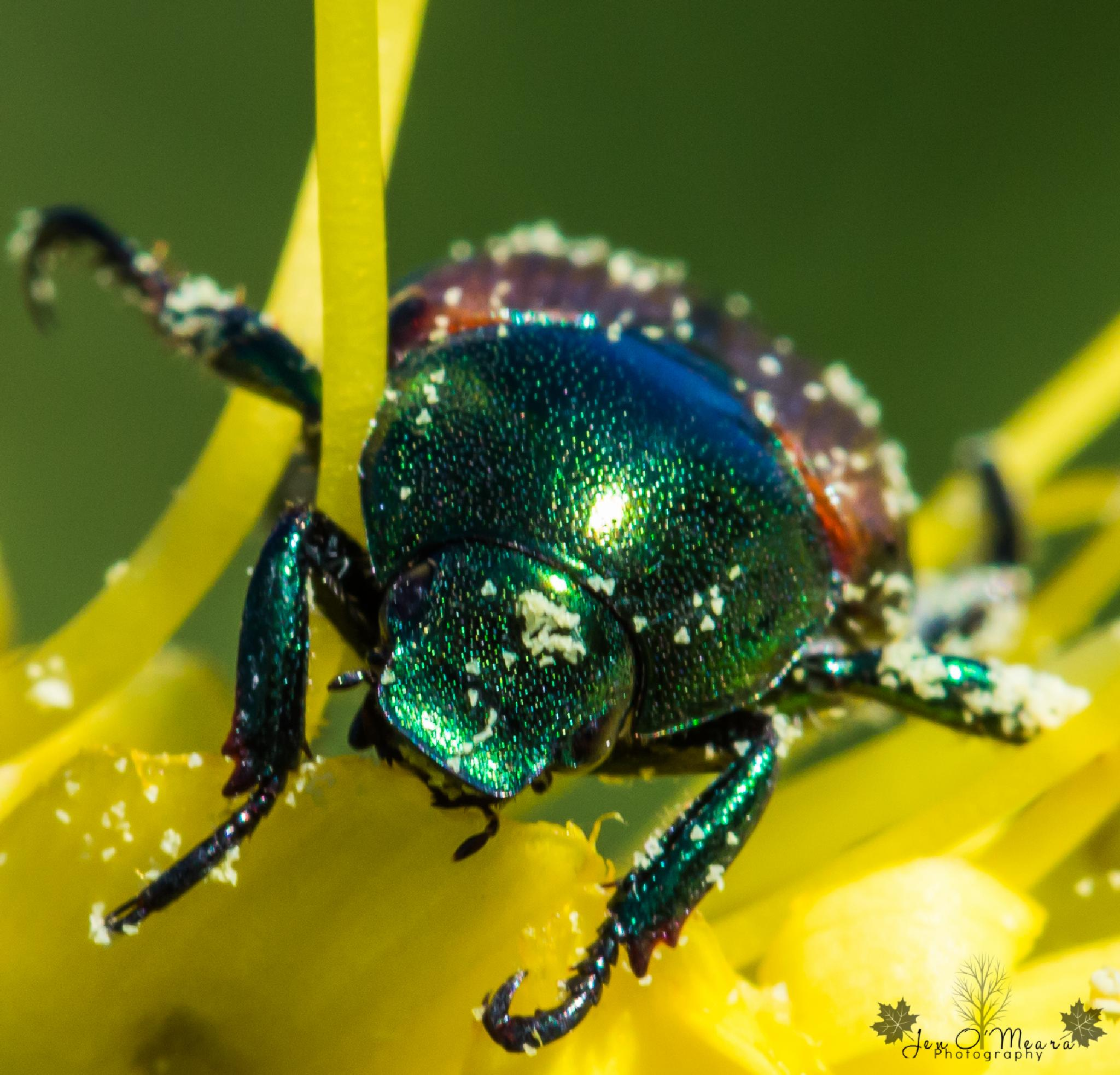 Japanese Beetle having dinner by Jen O'Meara