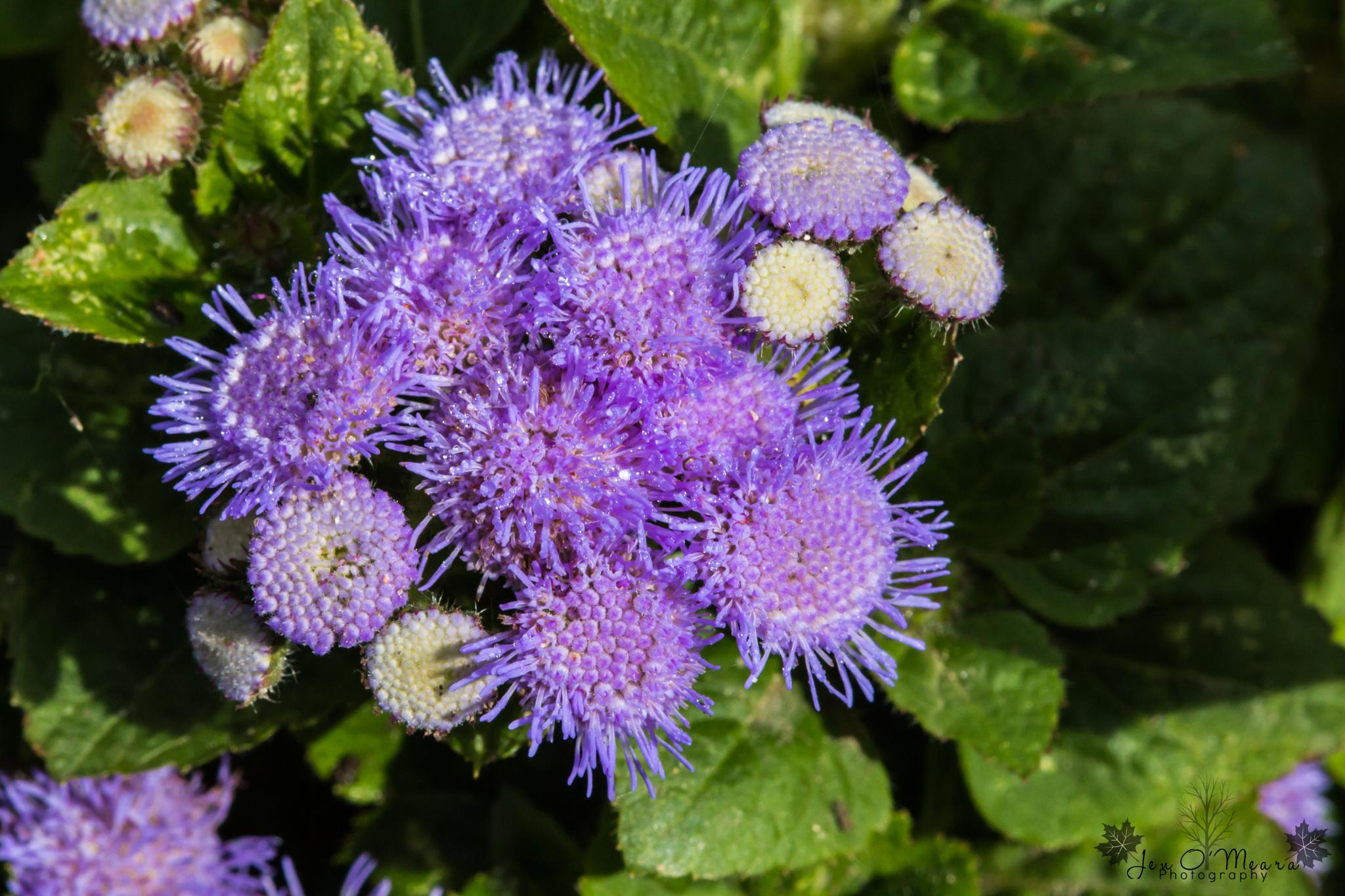 Purple flowers with dew by Jen O'Meara