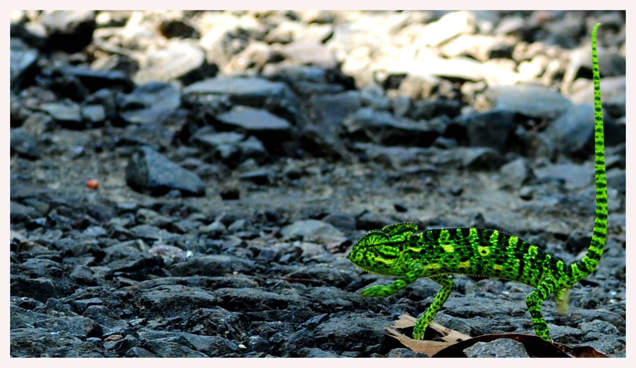 chameleon by satish.ballal