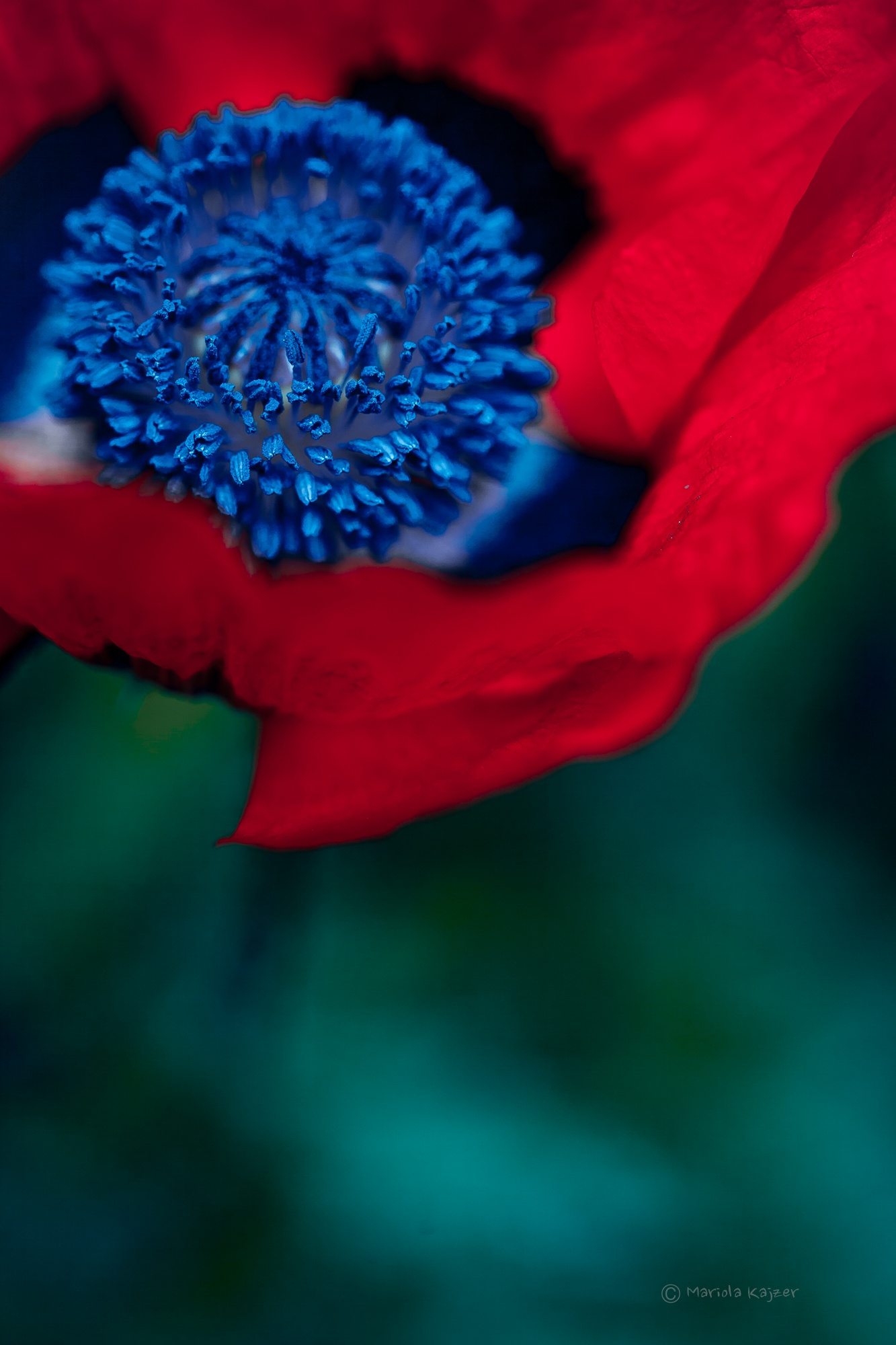 Photo in Nature #poppy #flower #spring #nature
