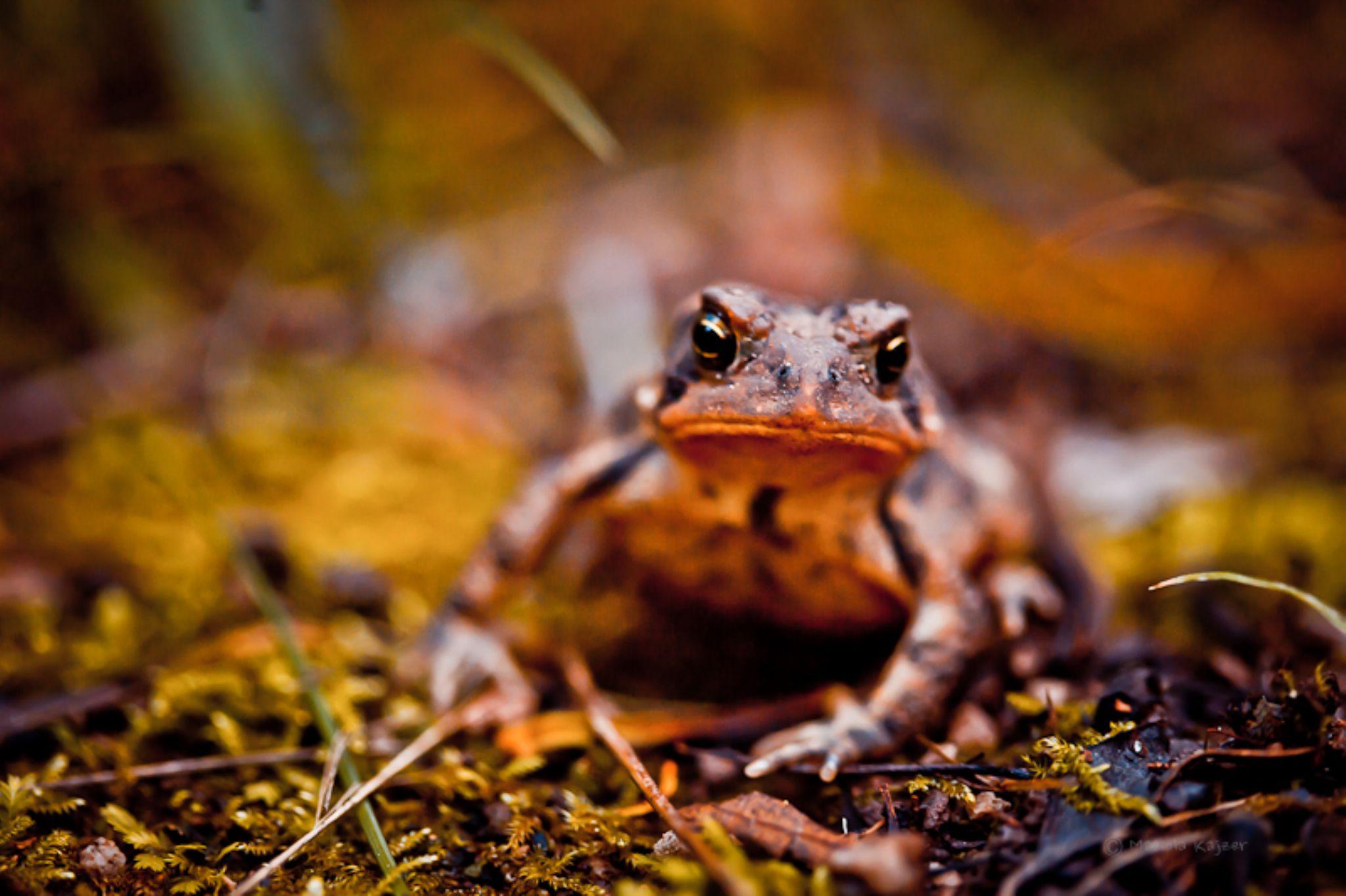 orange toad by mariola.kajzer.1