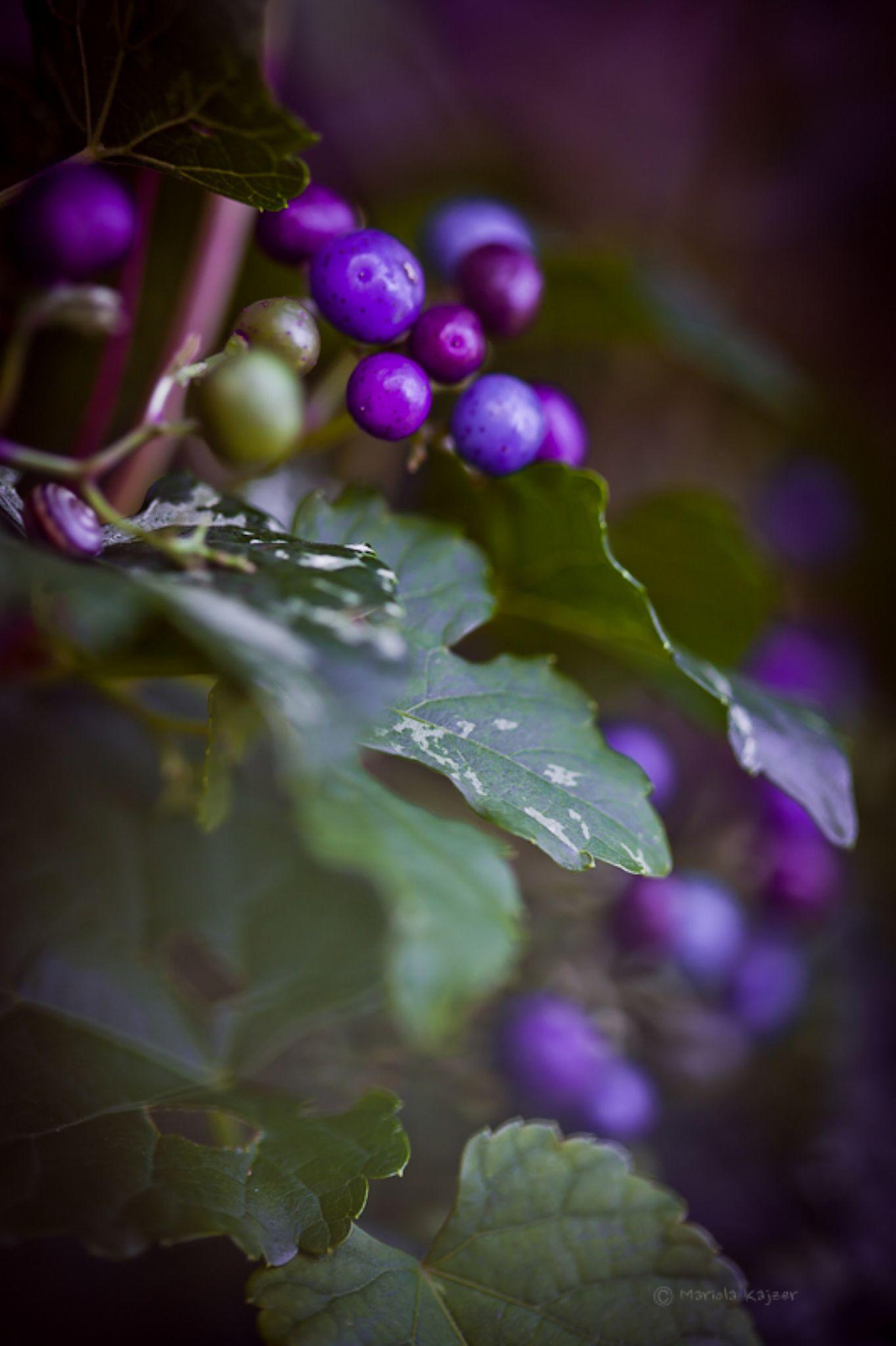 berry 3 by mariola.kajzer.1