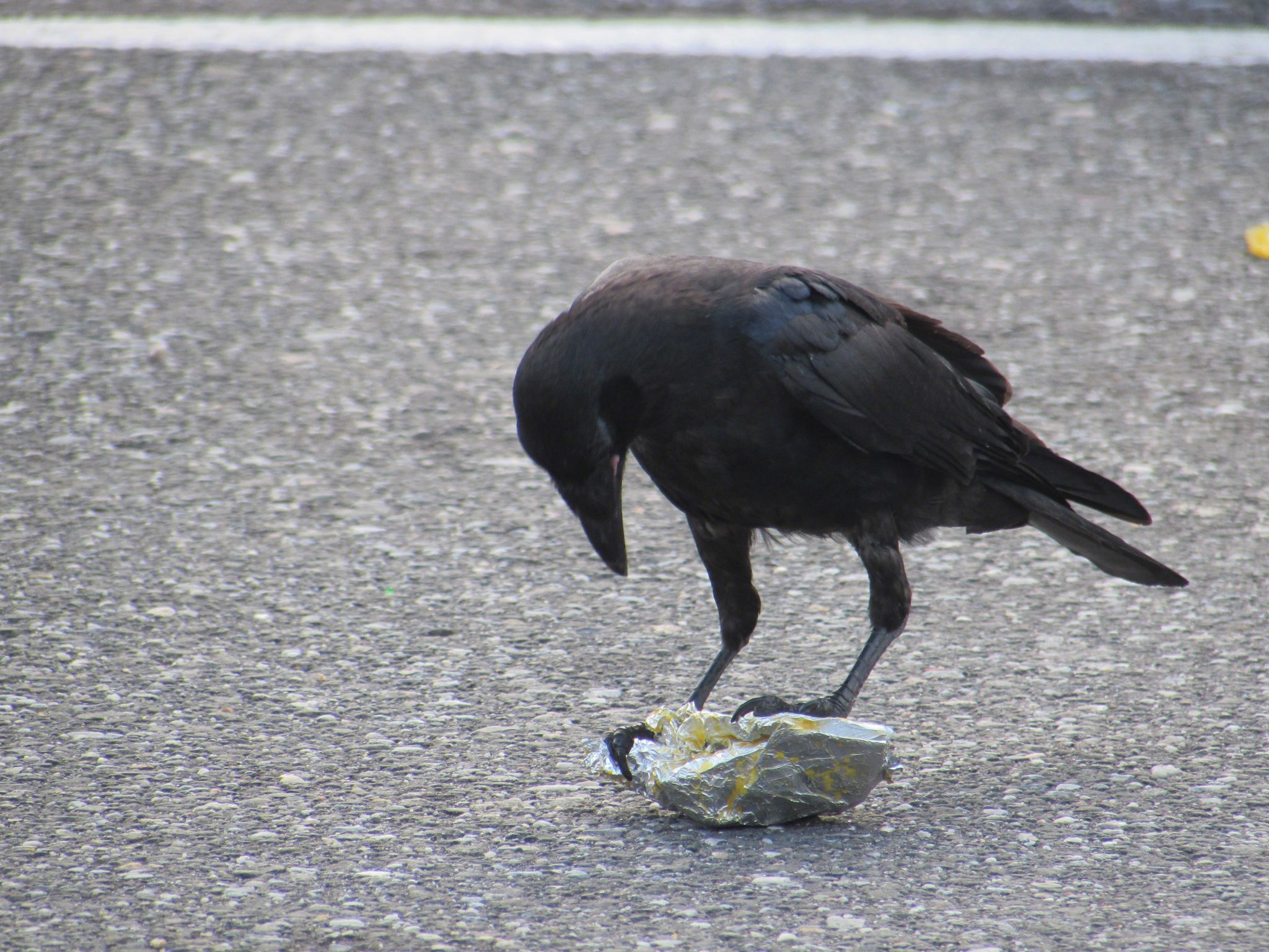 Crow Lunch by anne.santostefano
