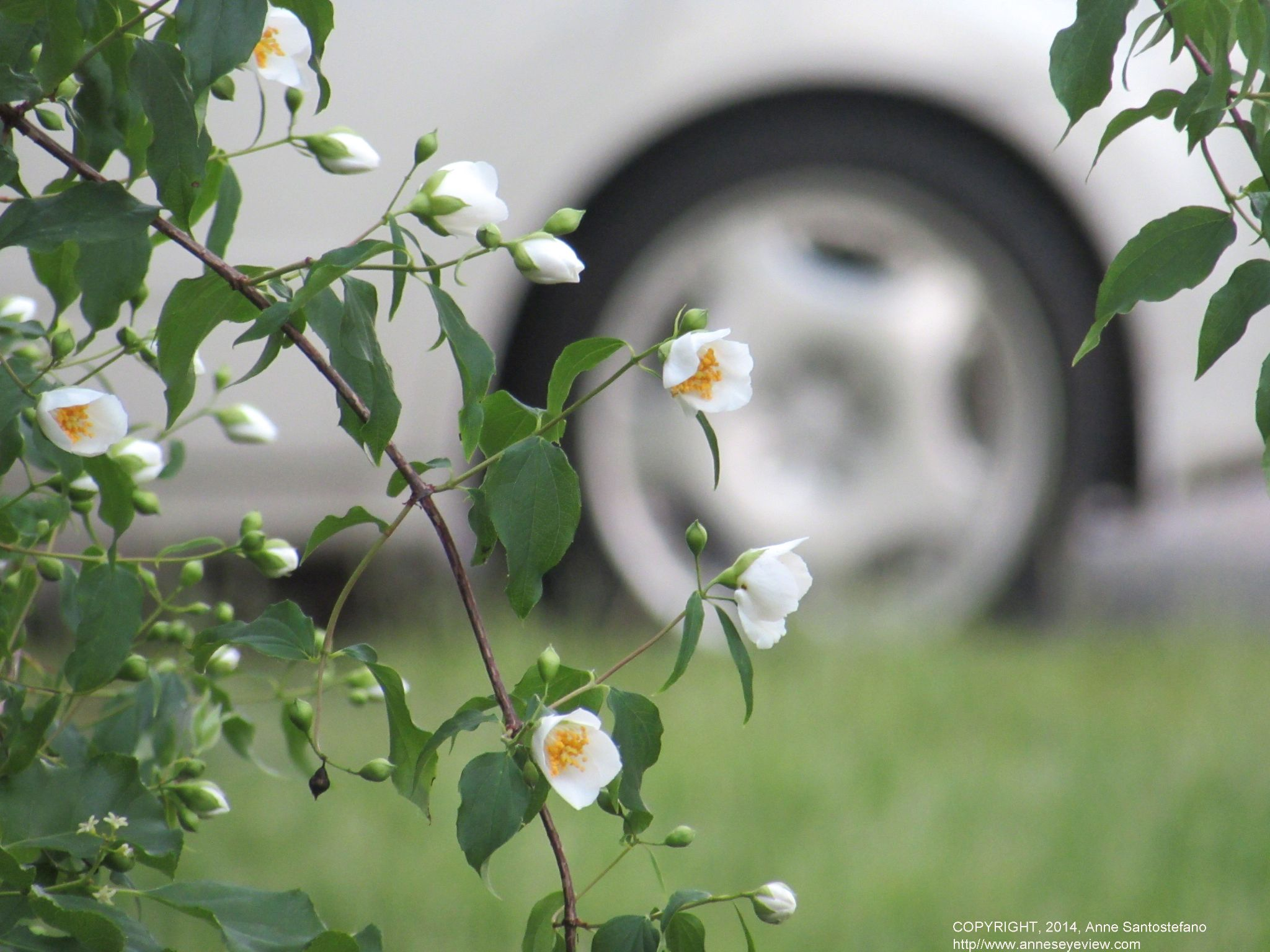 A Tumble Of White Flowers by anne.santostefano