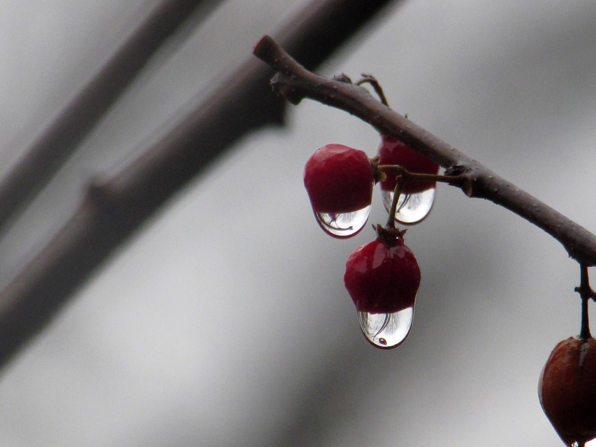 Berries In The Rain by anne.santostefano