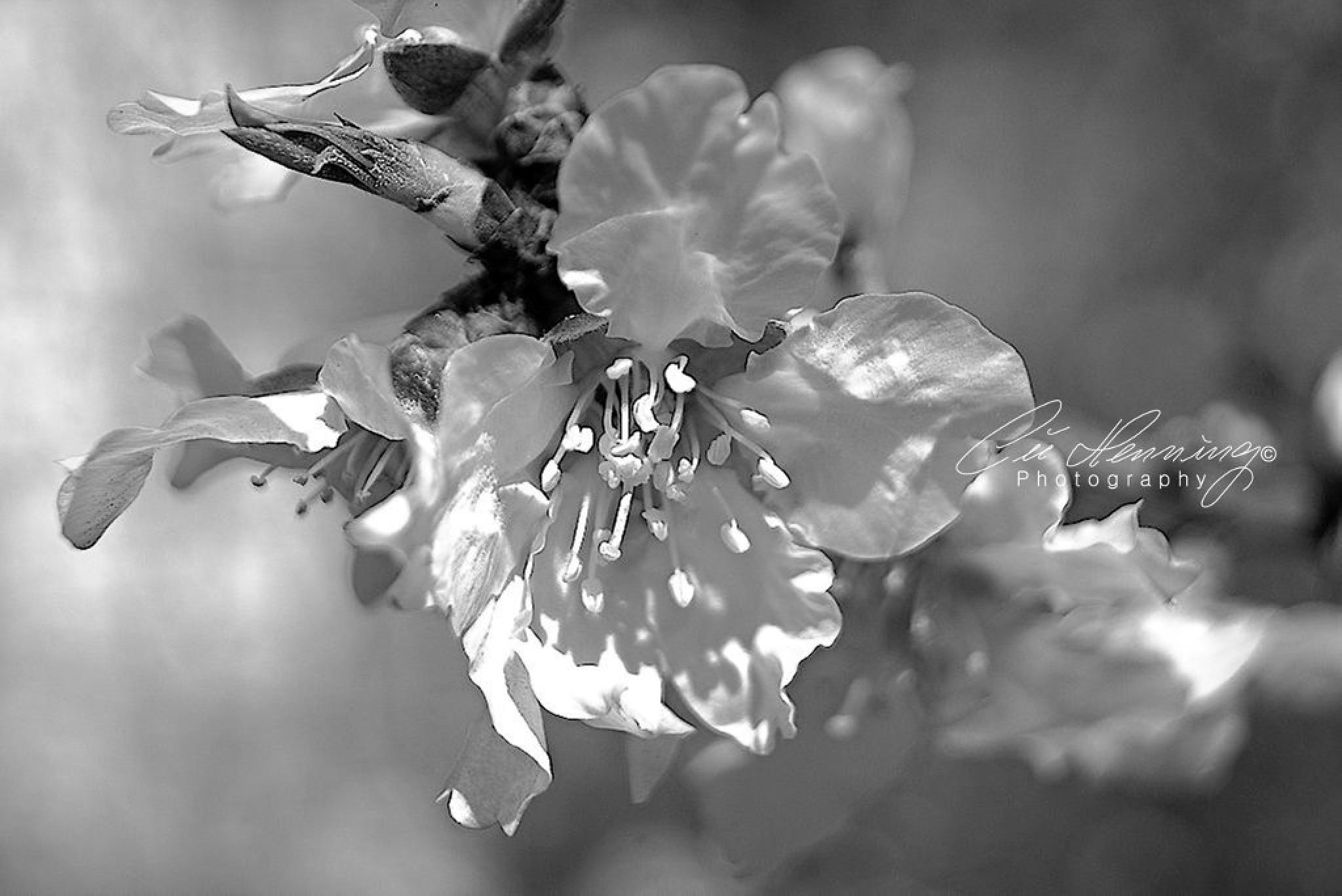 Blossom Time II BW by Cüneyt Gakçı