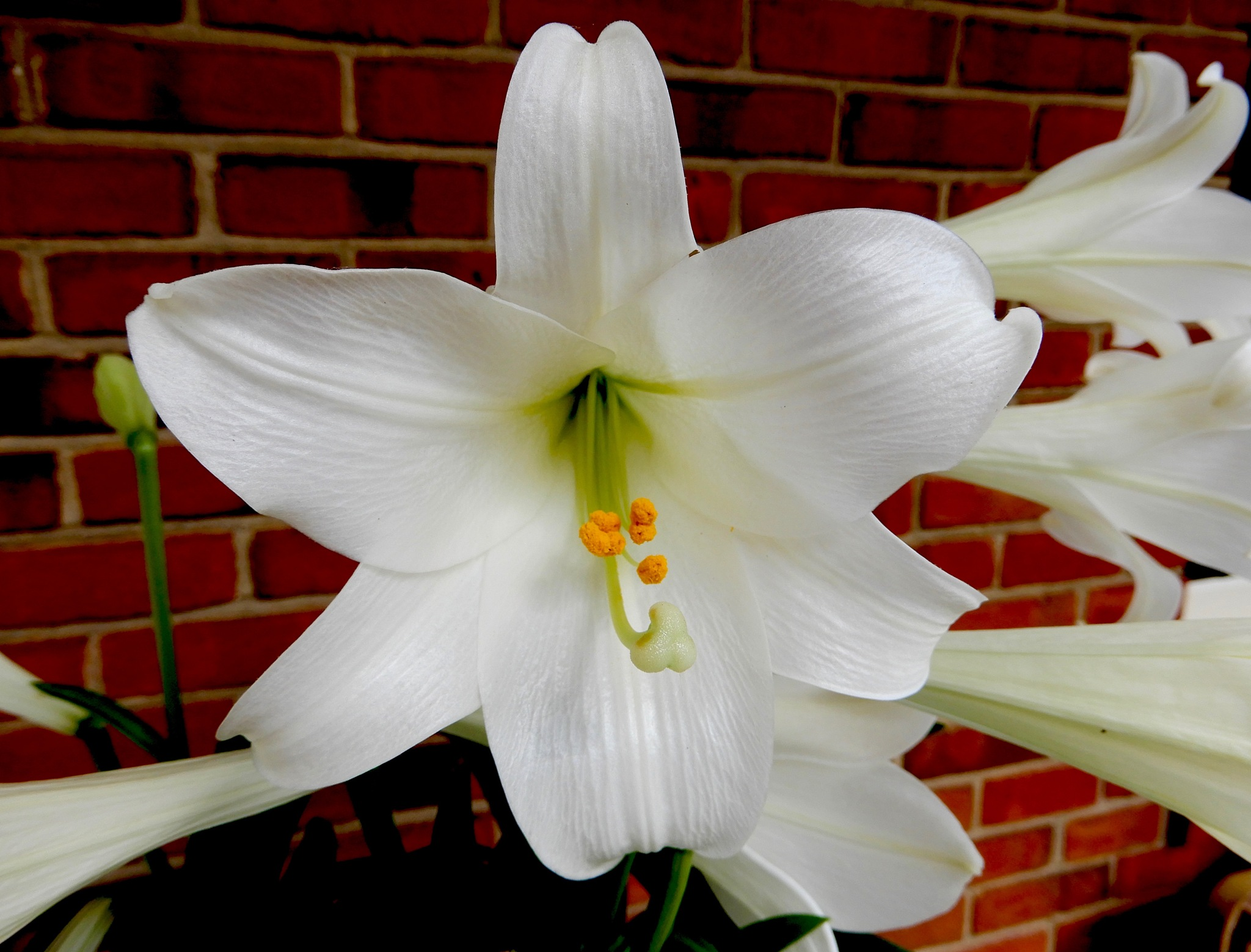 Easter lily by marcchia