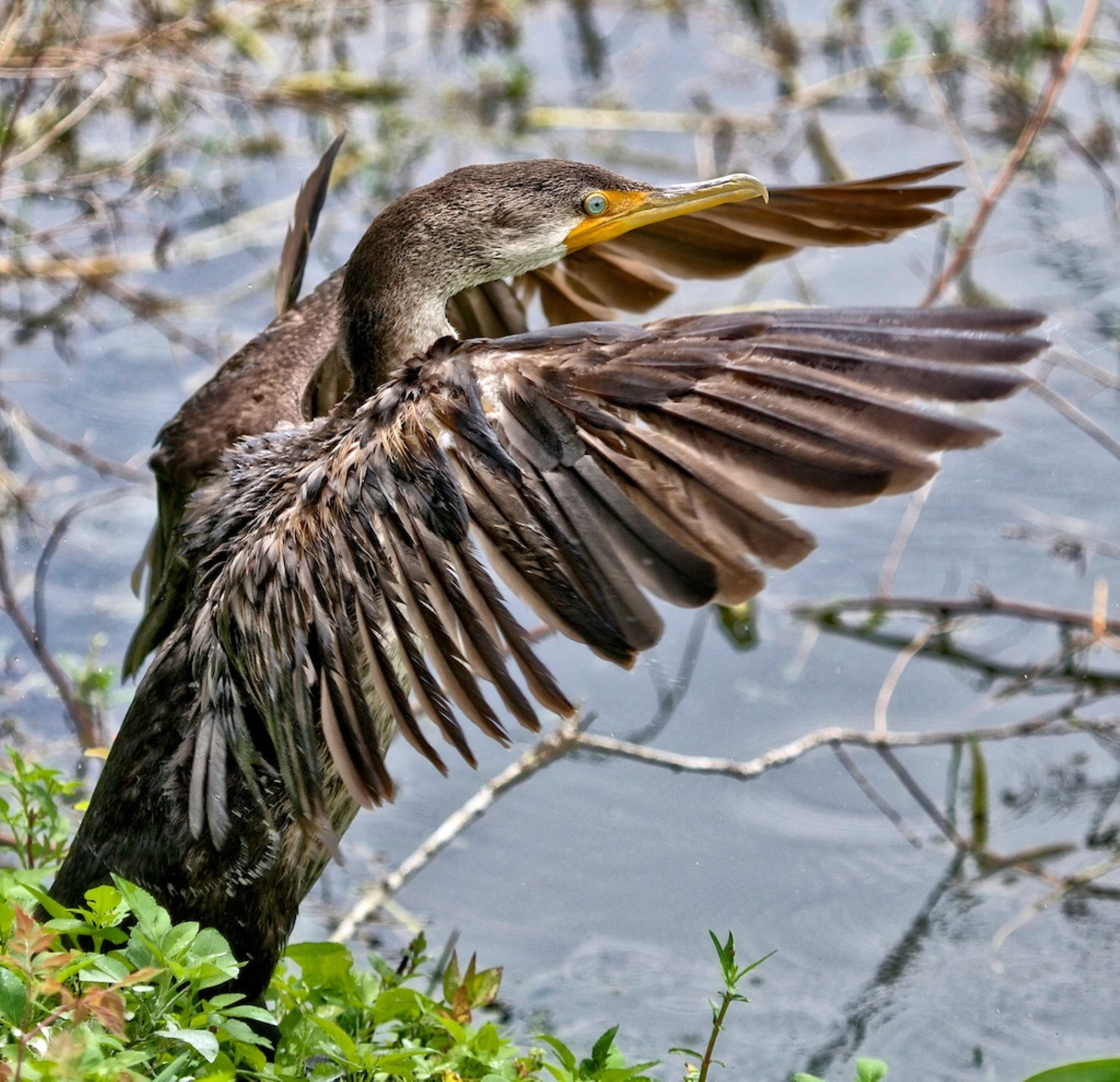 Cormorant flapping its wings by Sandy Scott