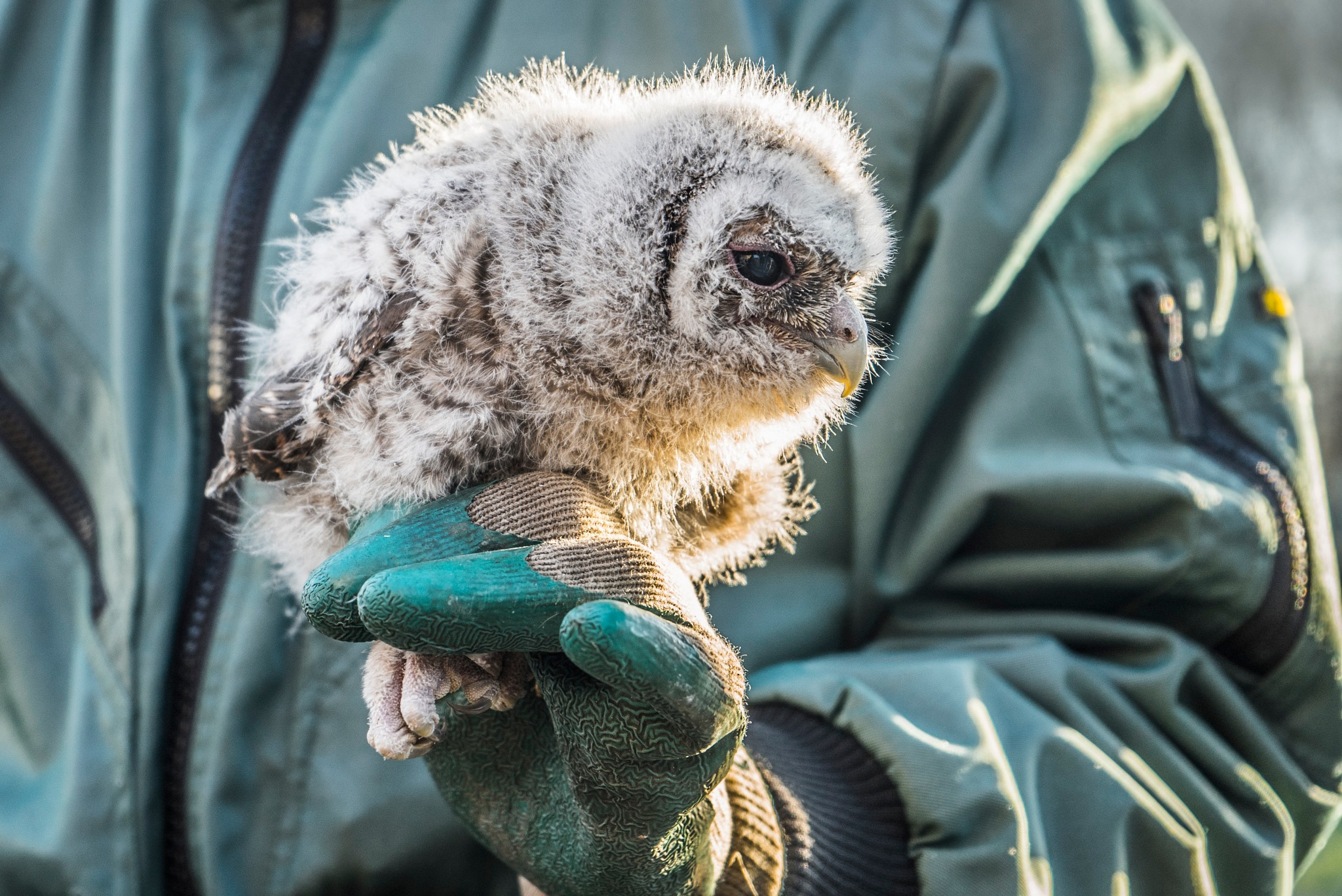Young tawny owl by fred.leeflang.7