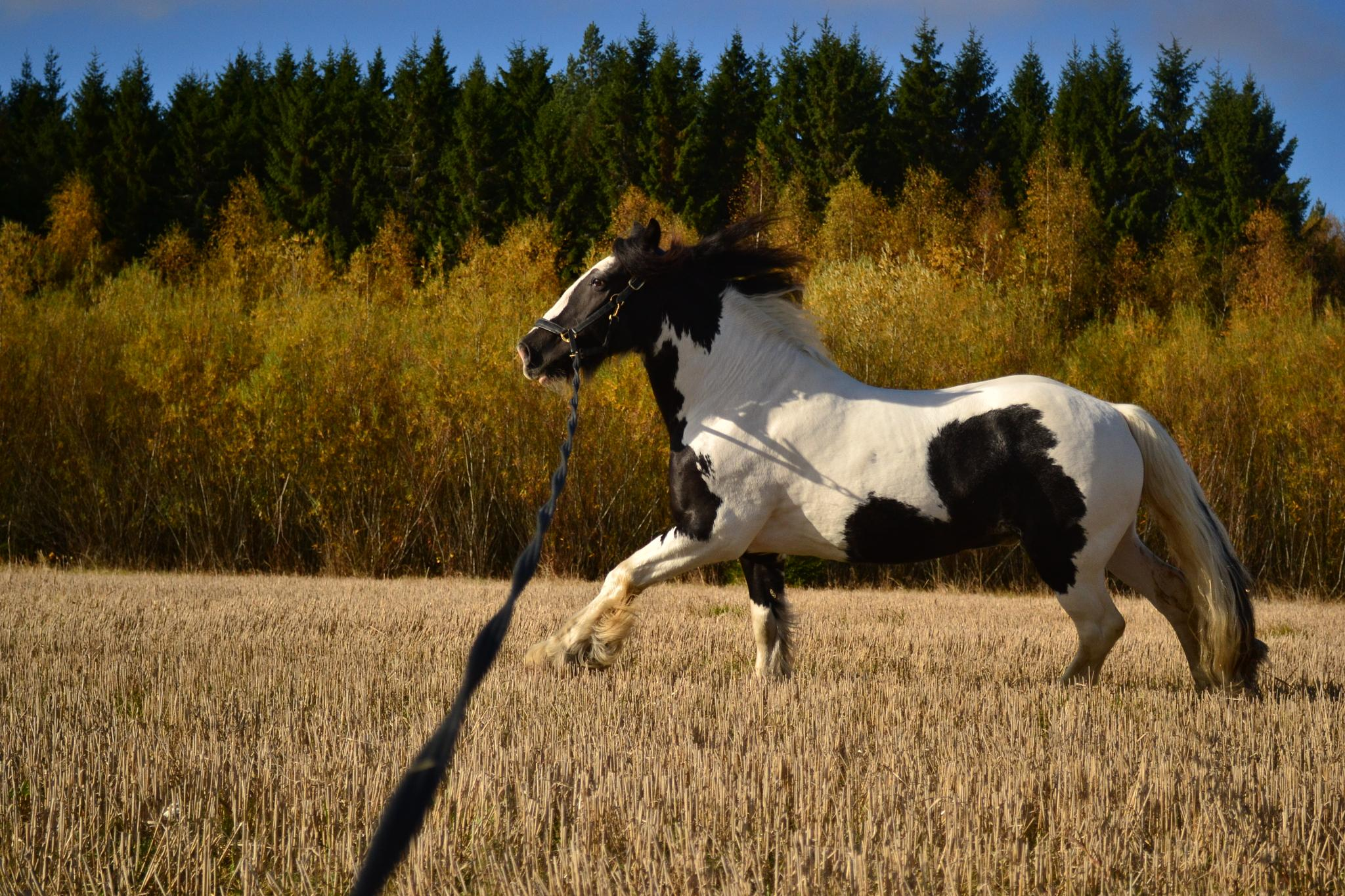 galloping horse by JuliaKarlenOberg