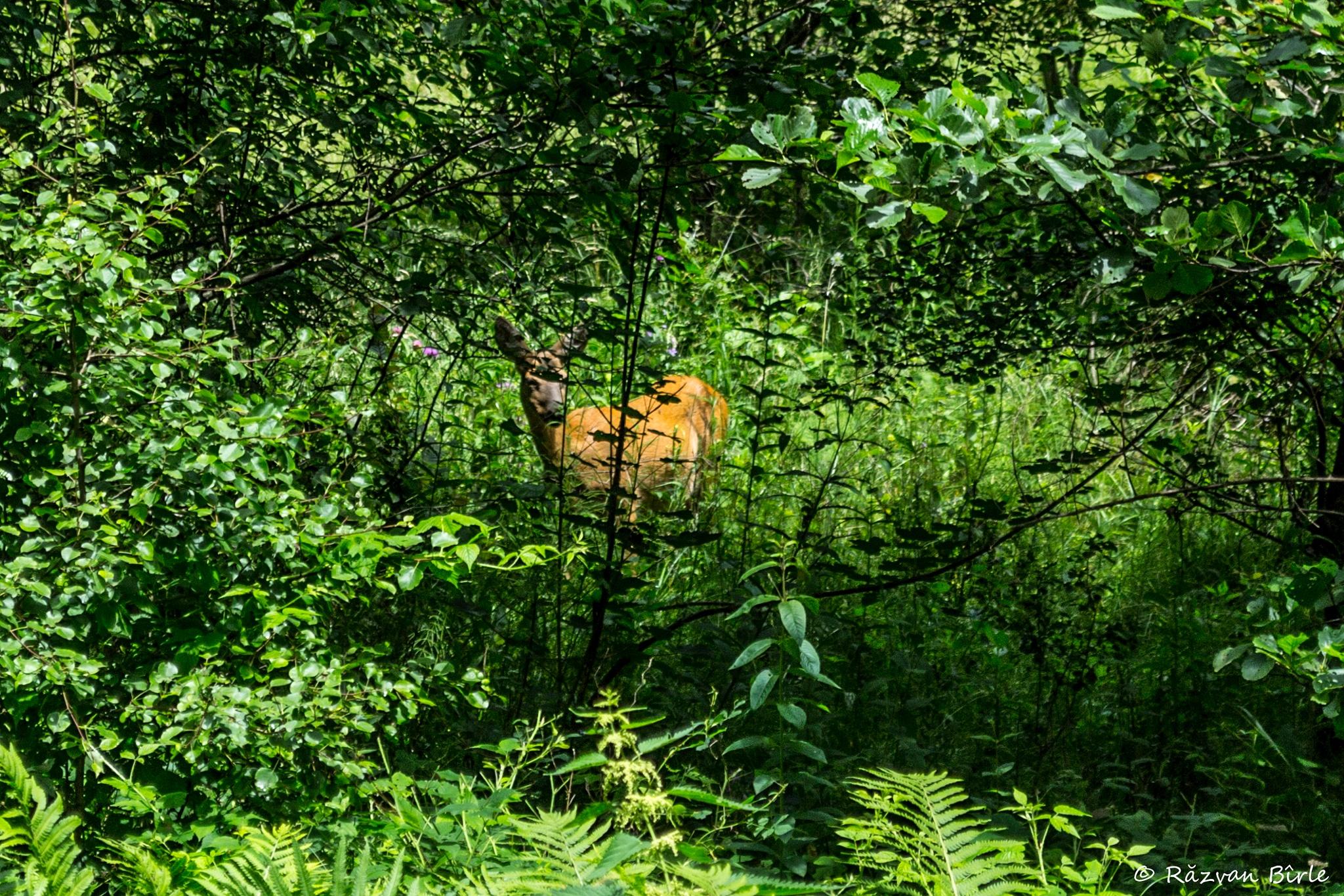 Deer by Răzvan Bîrle