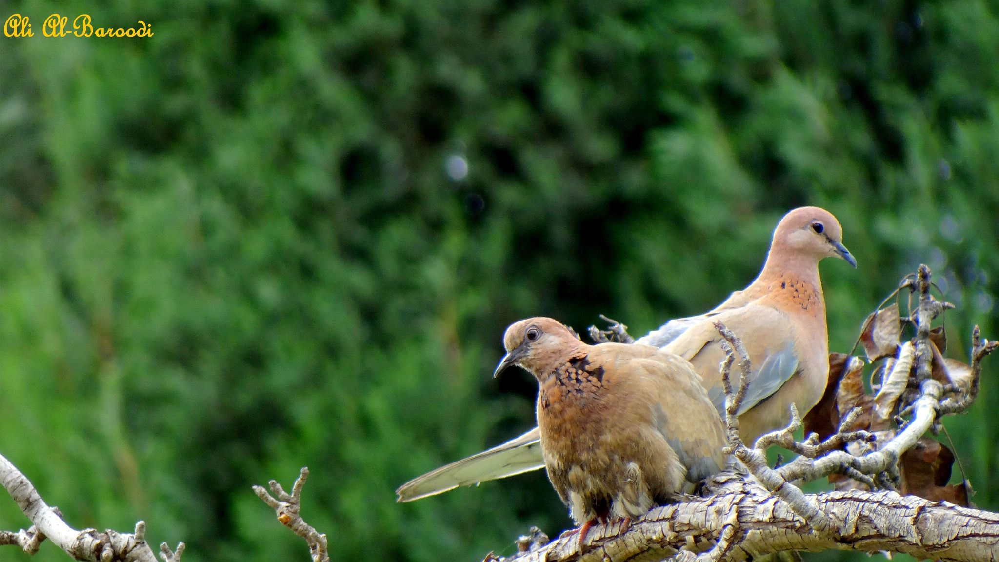 Pigeons in Love -2- by AliAlBaroodi