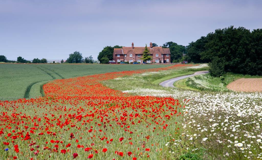 Photo in Landscape #flower #poppy #daisy #red #kent