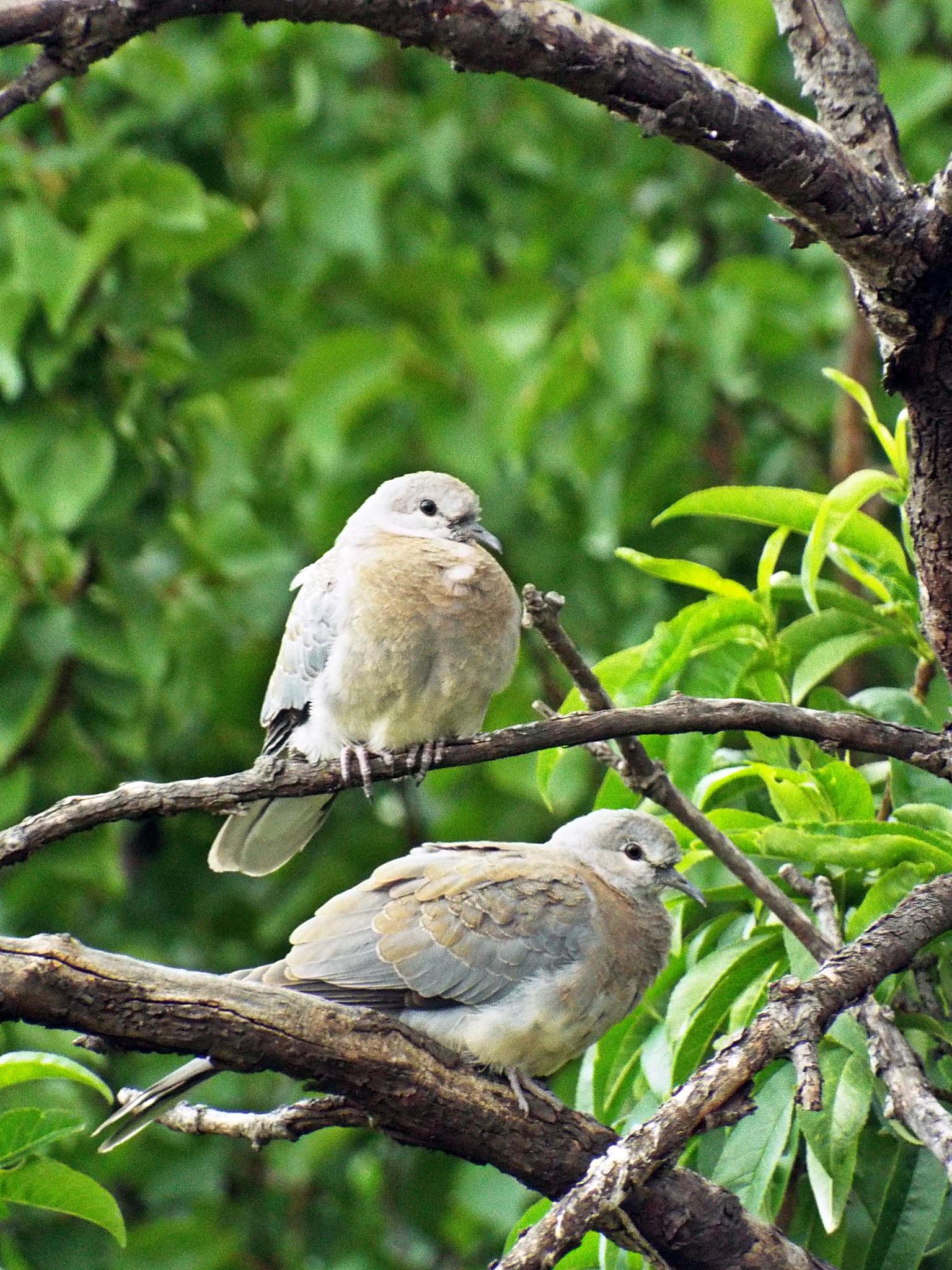 2 Doves by wynand.roelofse