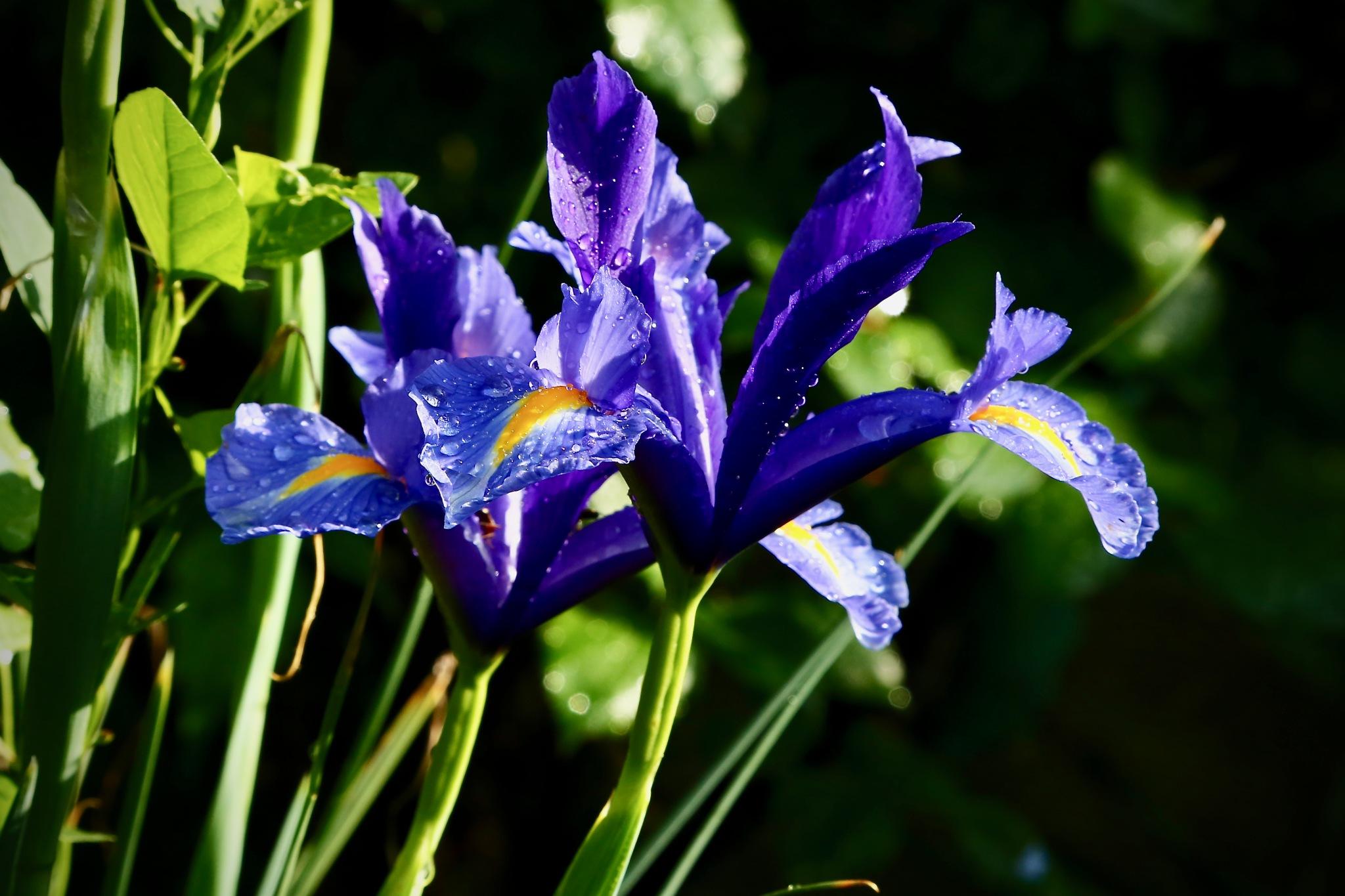violet by meteor14avgust