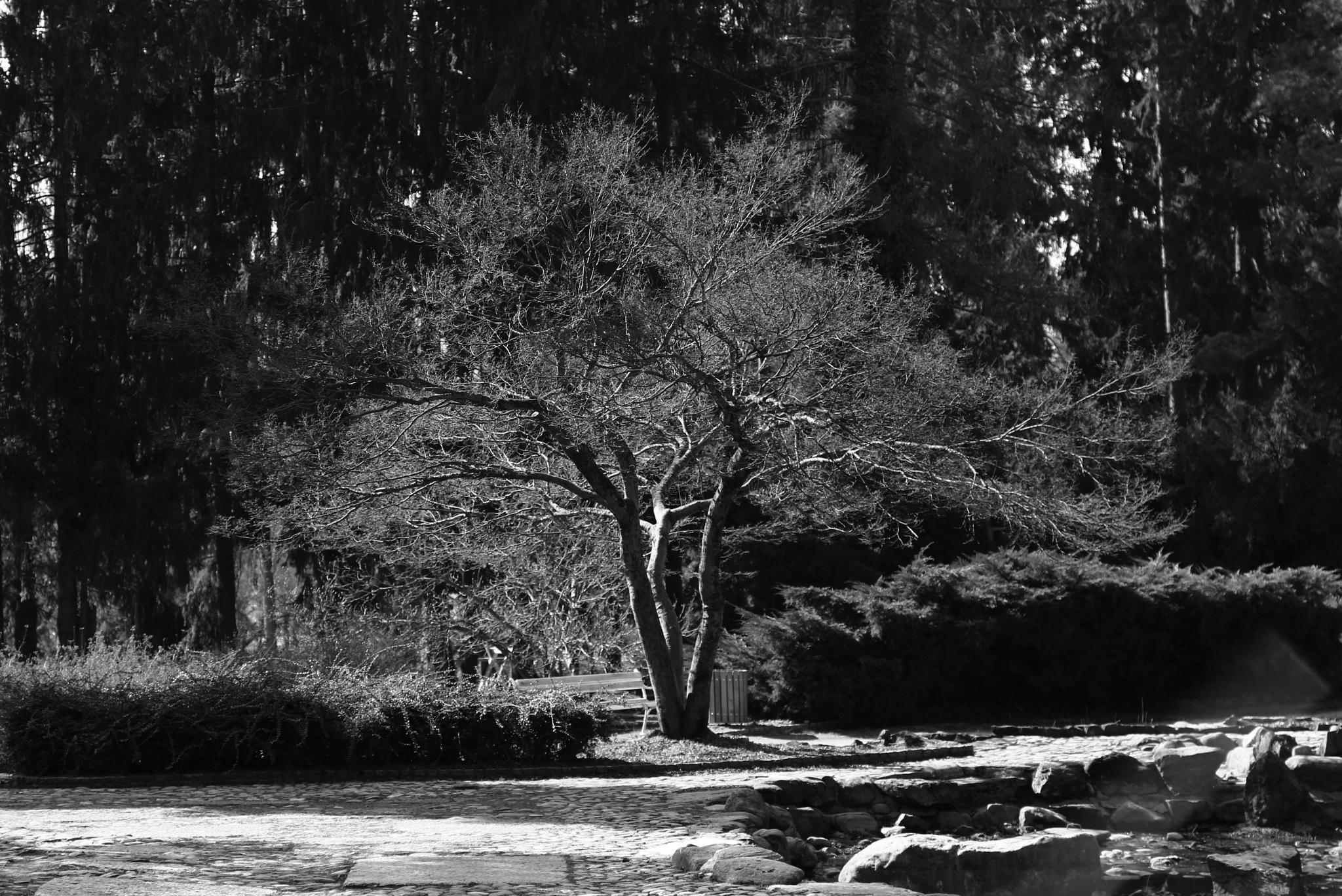 drevo javor by meteor14avgust