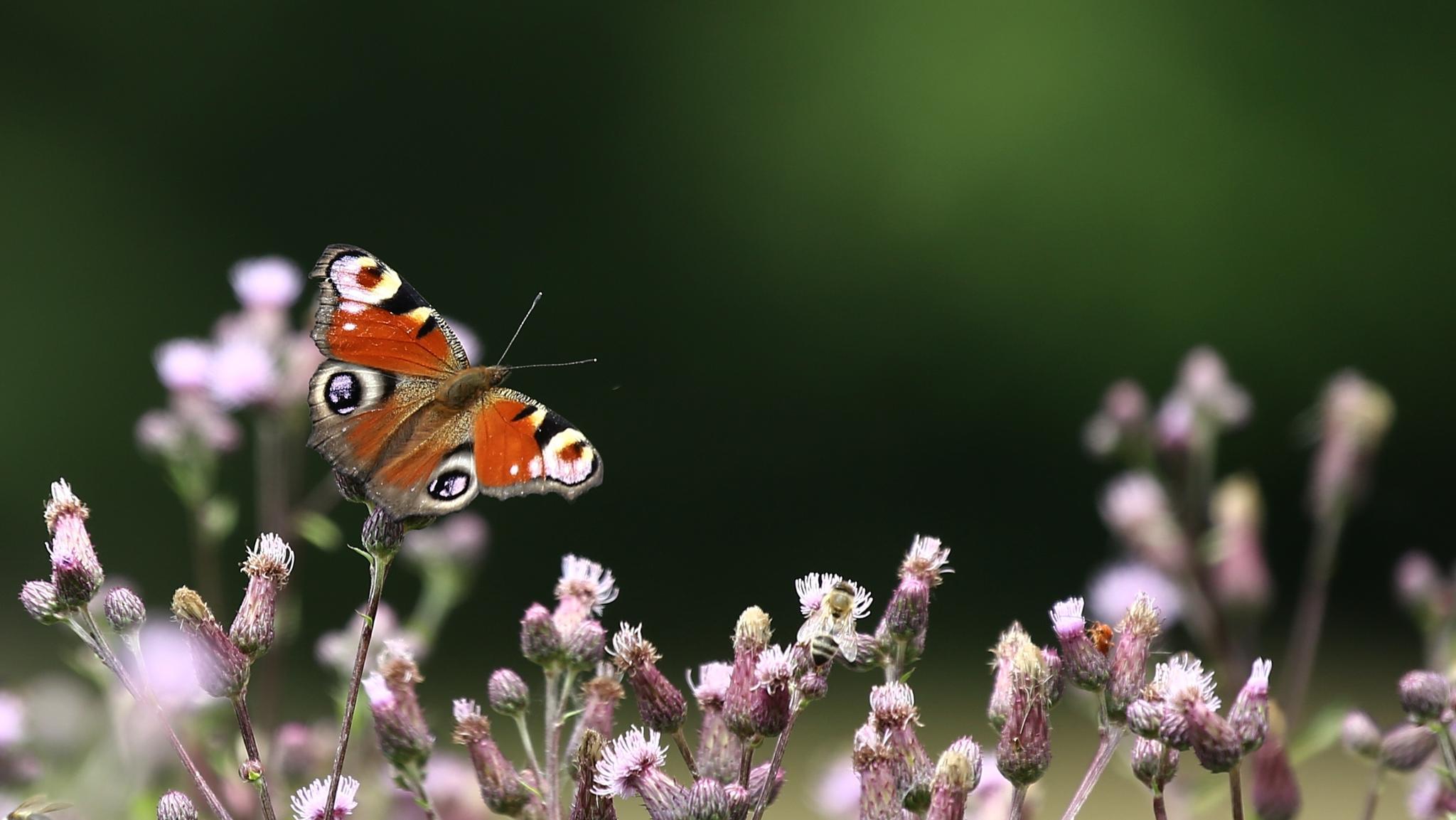 metuljevec by meteor14avgust