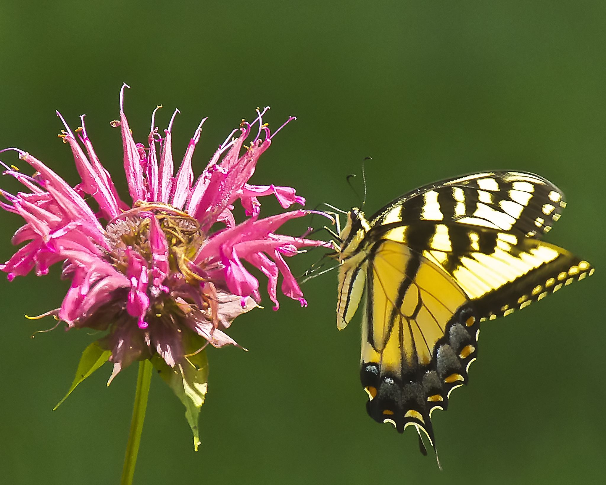Tiger Swallowtail Butterfly by BadgerBob