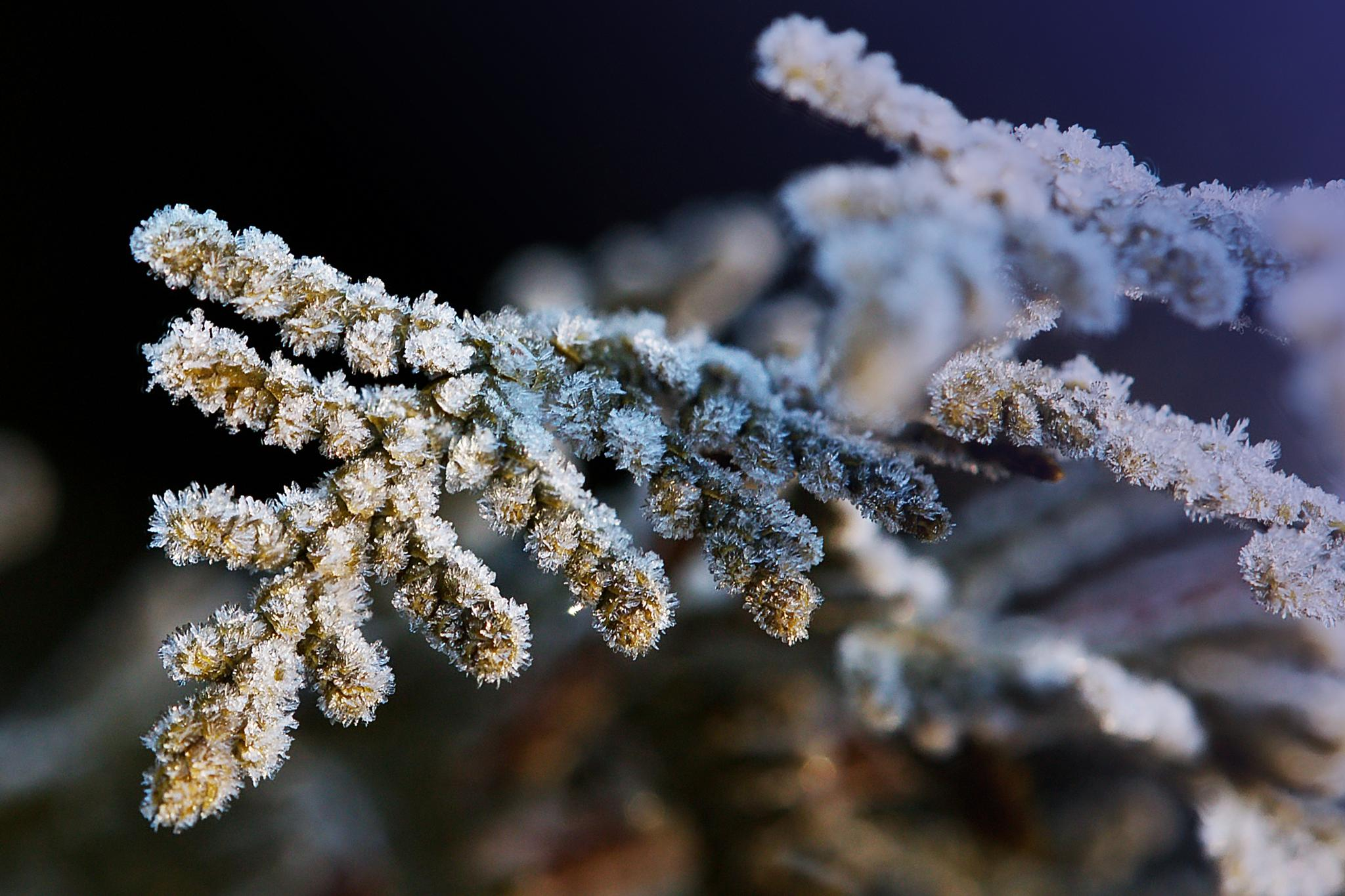 Frosted Juniper by BadgerBob