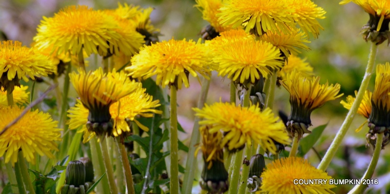 Photo in Nature #dandelion #dandelions #flower #flowers #yellow