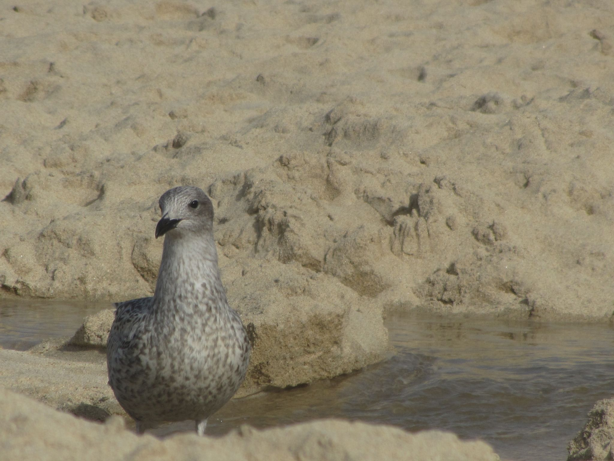 Young Gull by TracyPooleDodsworth