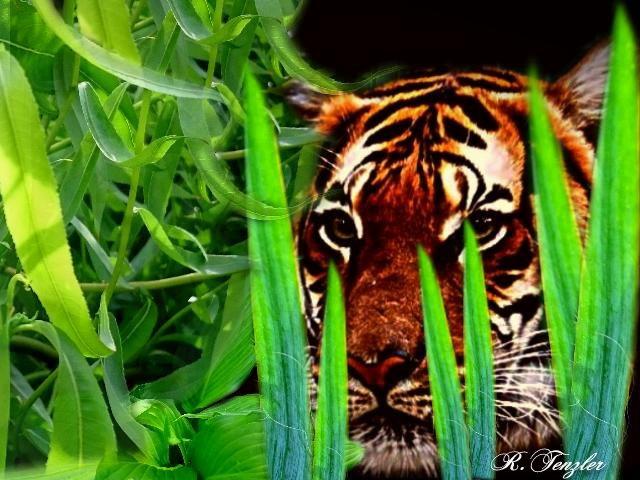 The Tiger by reinhard.tenzler