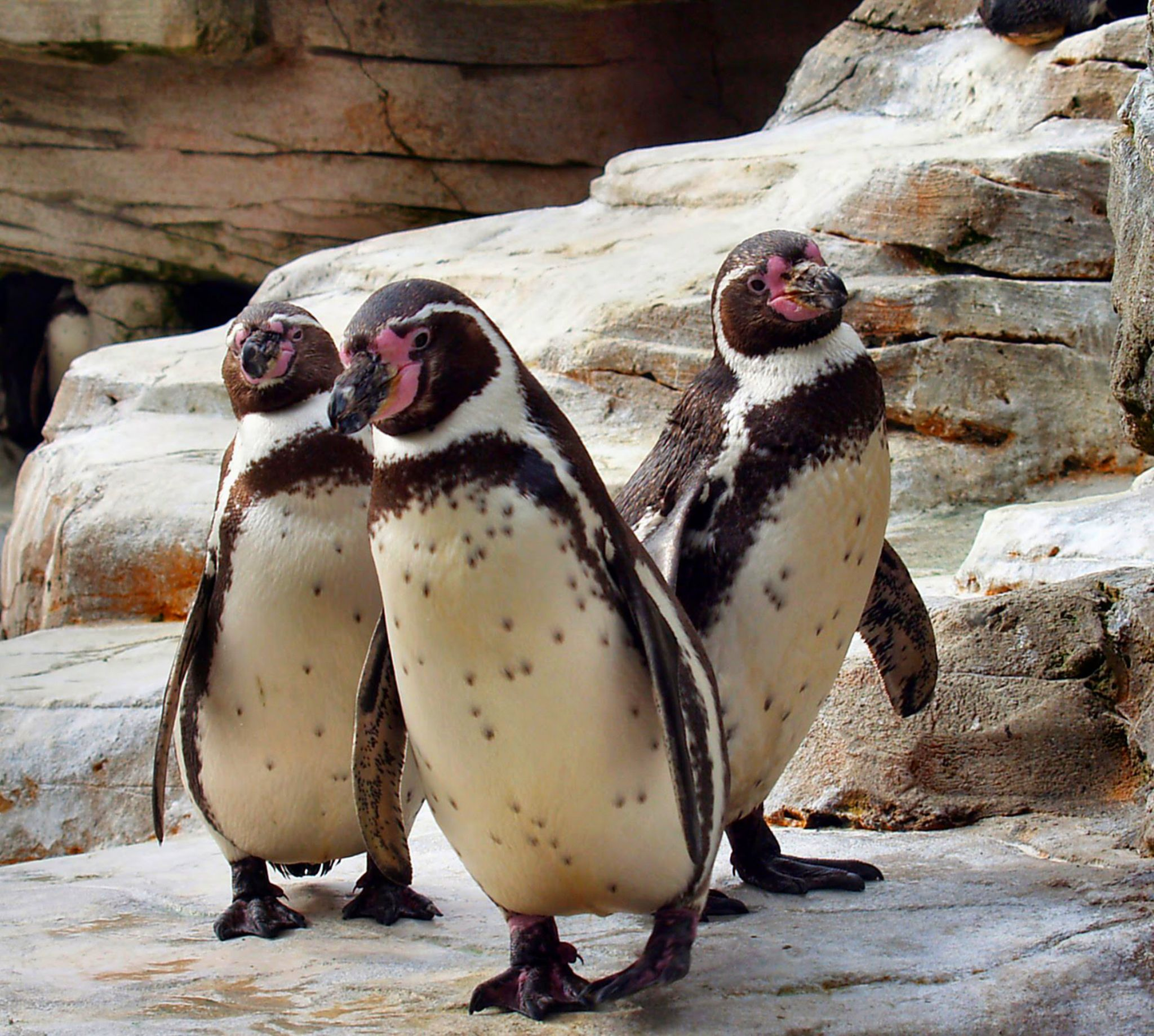 3 penguins by reinhard.tenzler