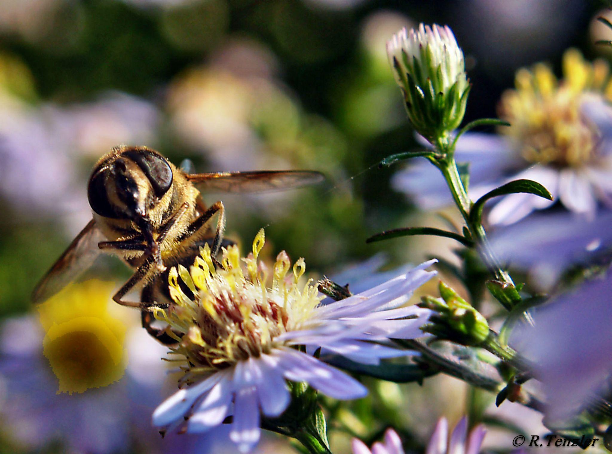 Bee on a flower by reinhard.tenzler