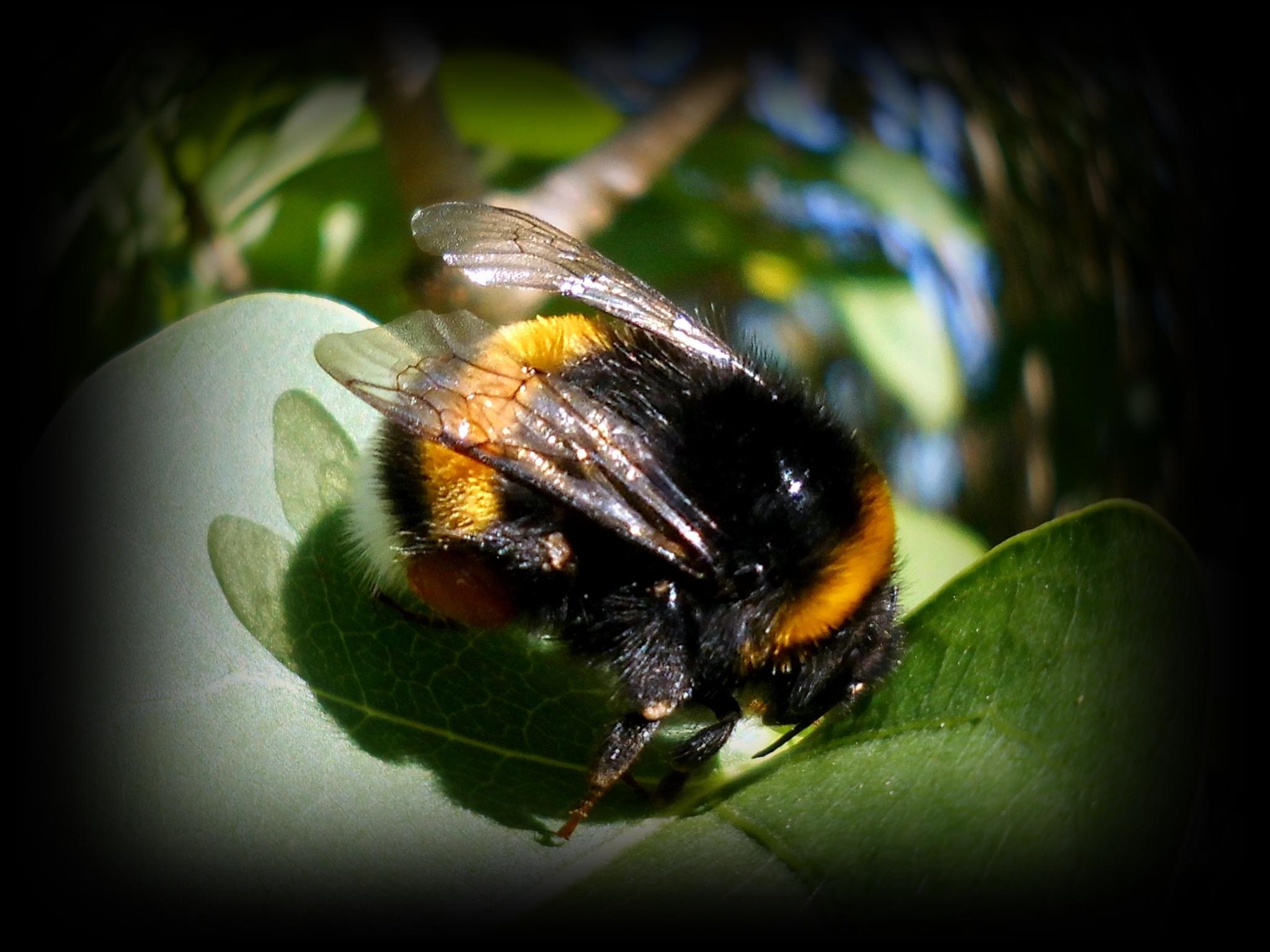 bumblebee by reinhard.tenzler