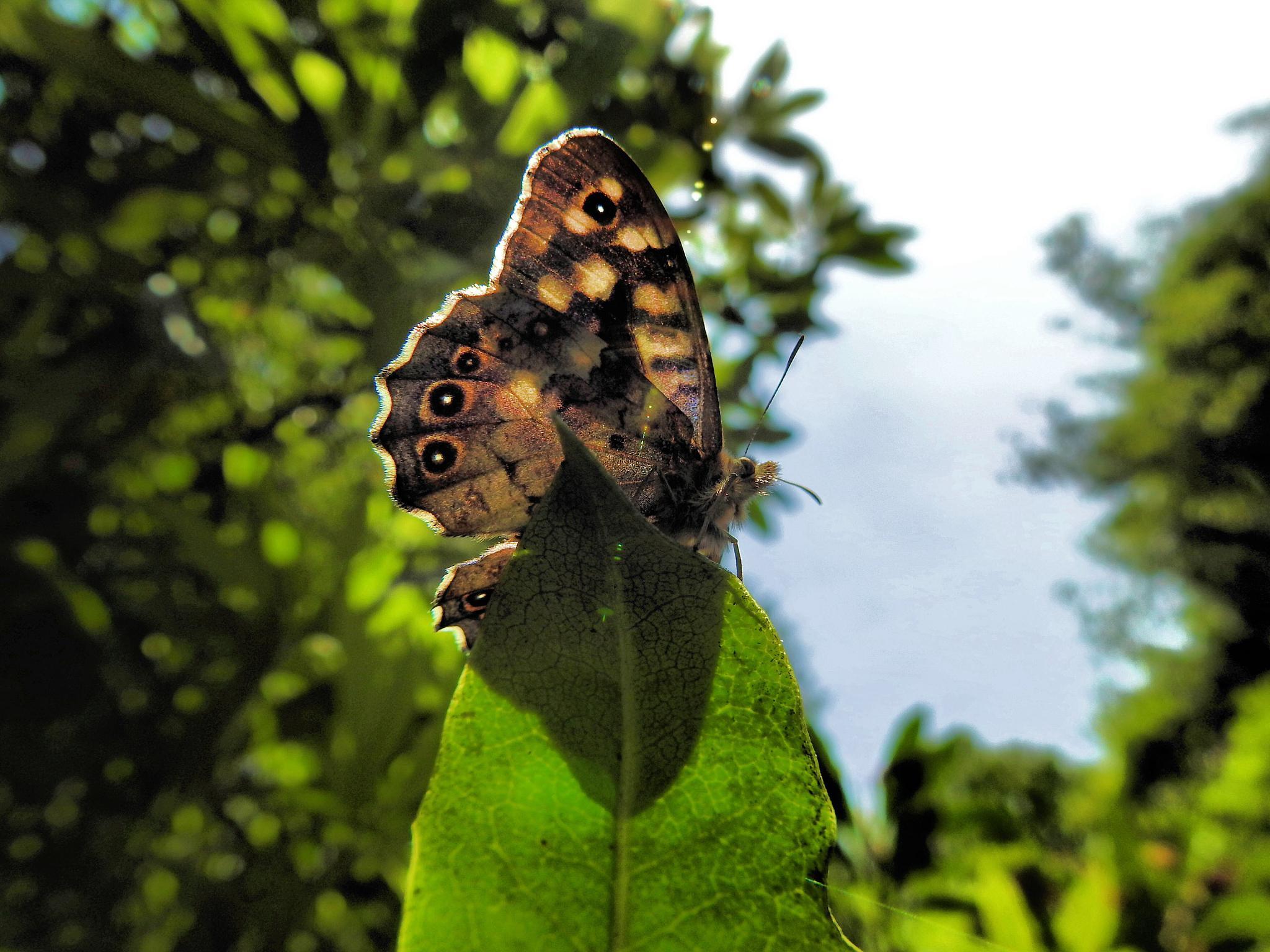 Brown Butterfly. by john.bradburn