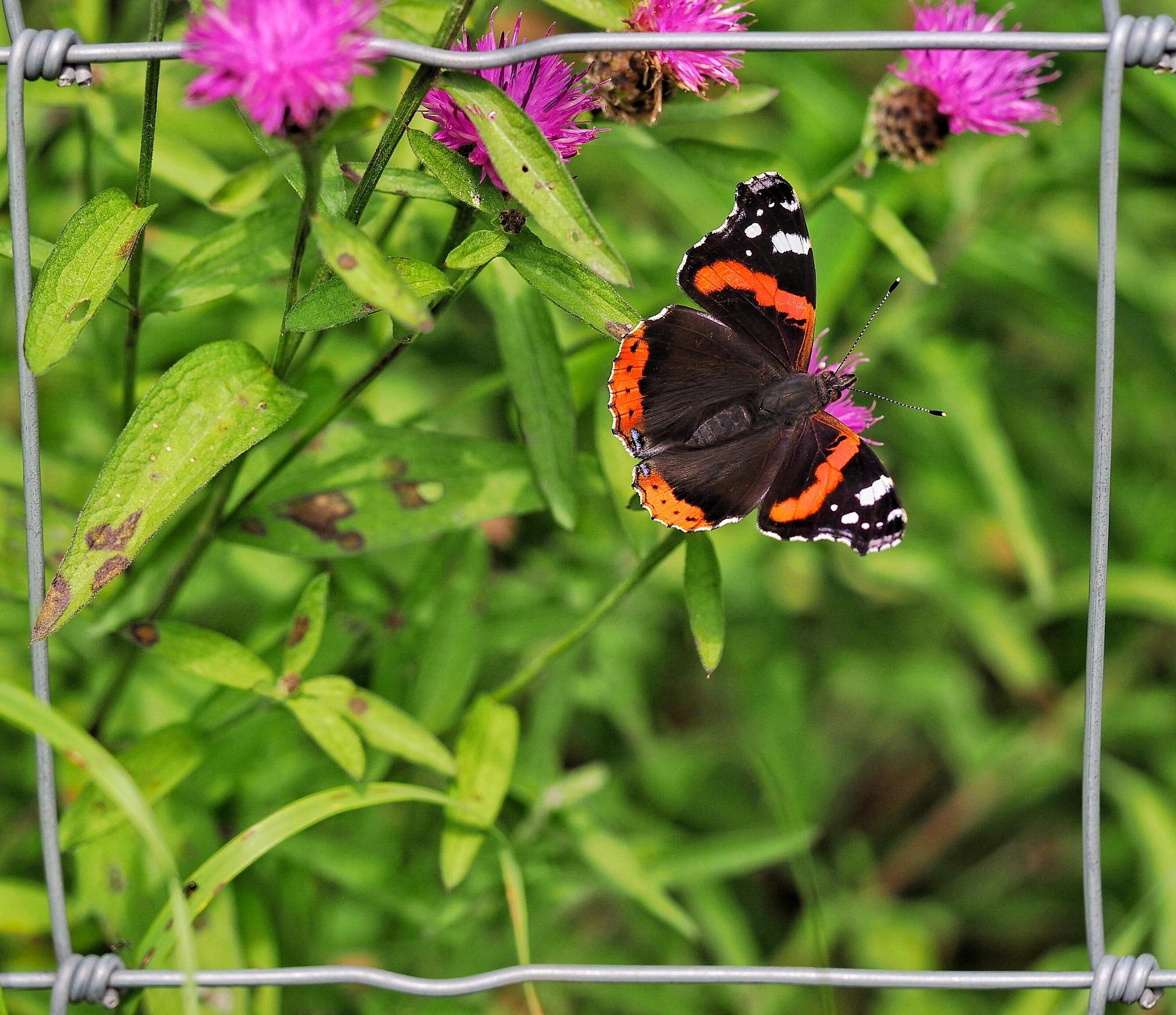 Red Admiral Butterfly by john.bradburn