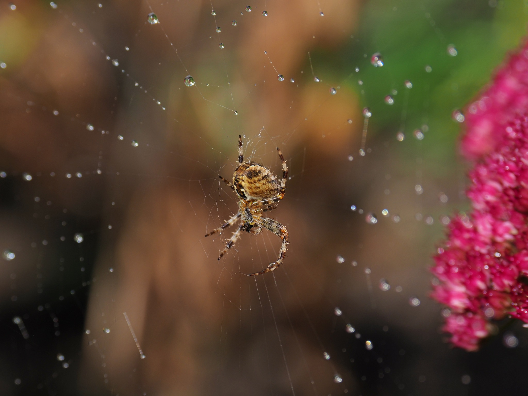 Garden Spider by john.bradburn