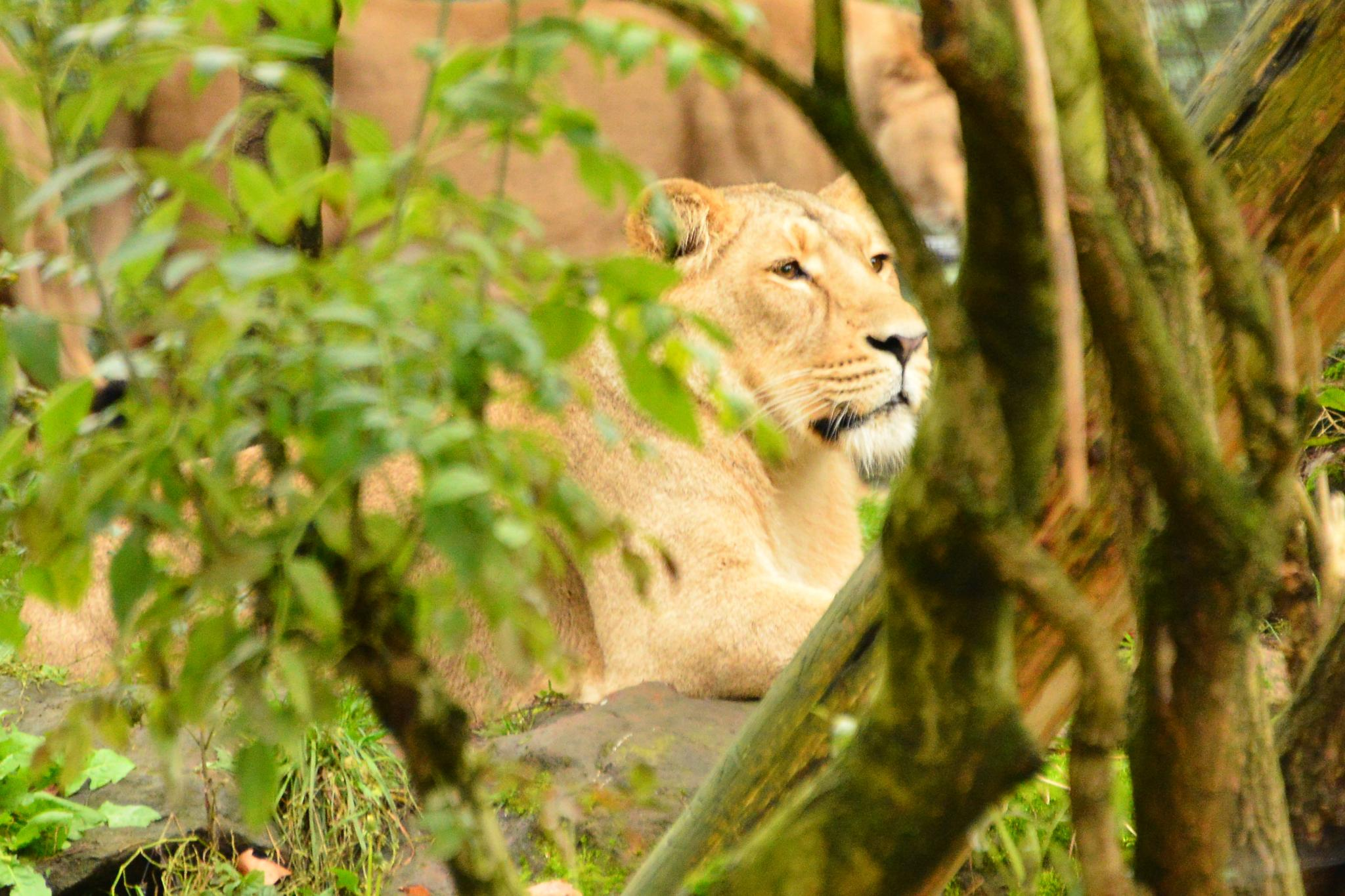 Lioness hiding by tony.barber.71