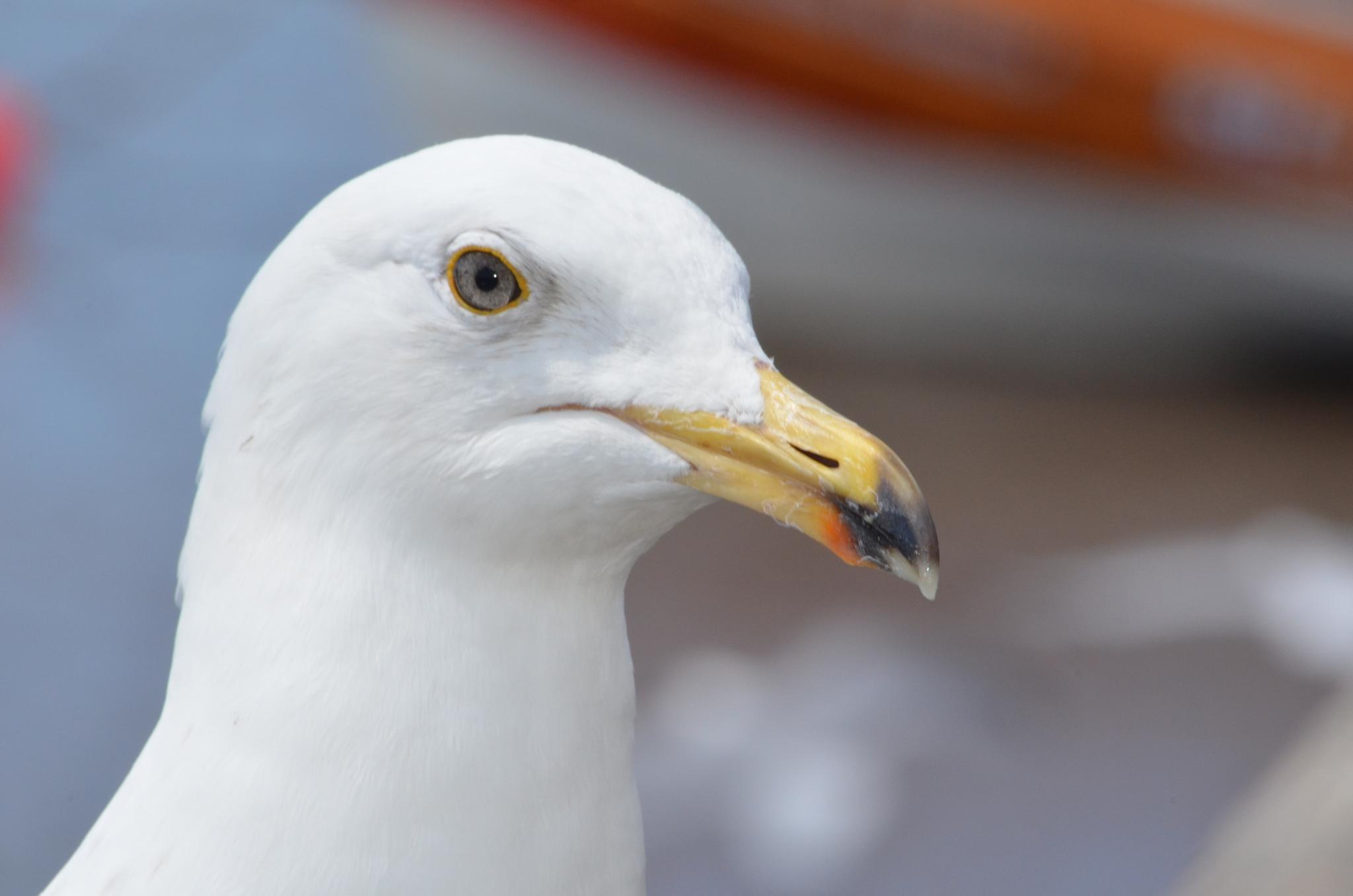 seagull by ksoar1