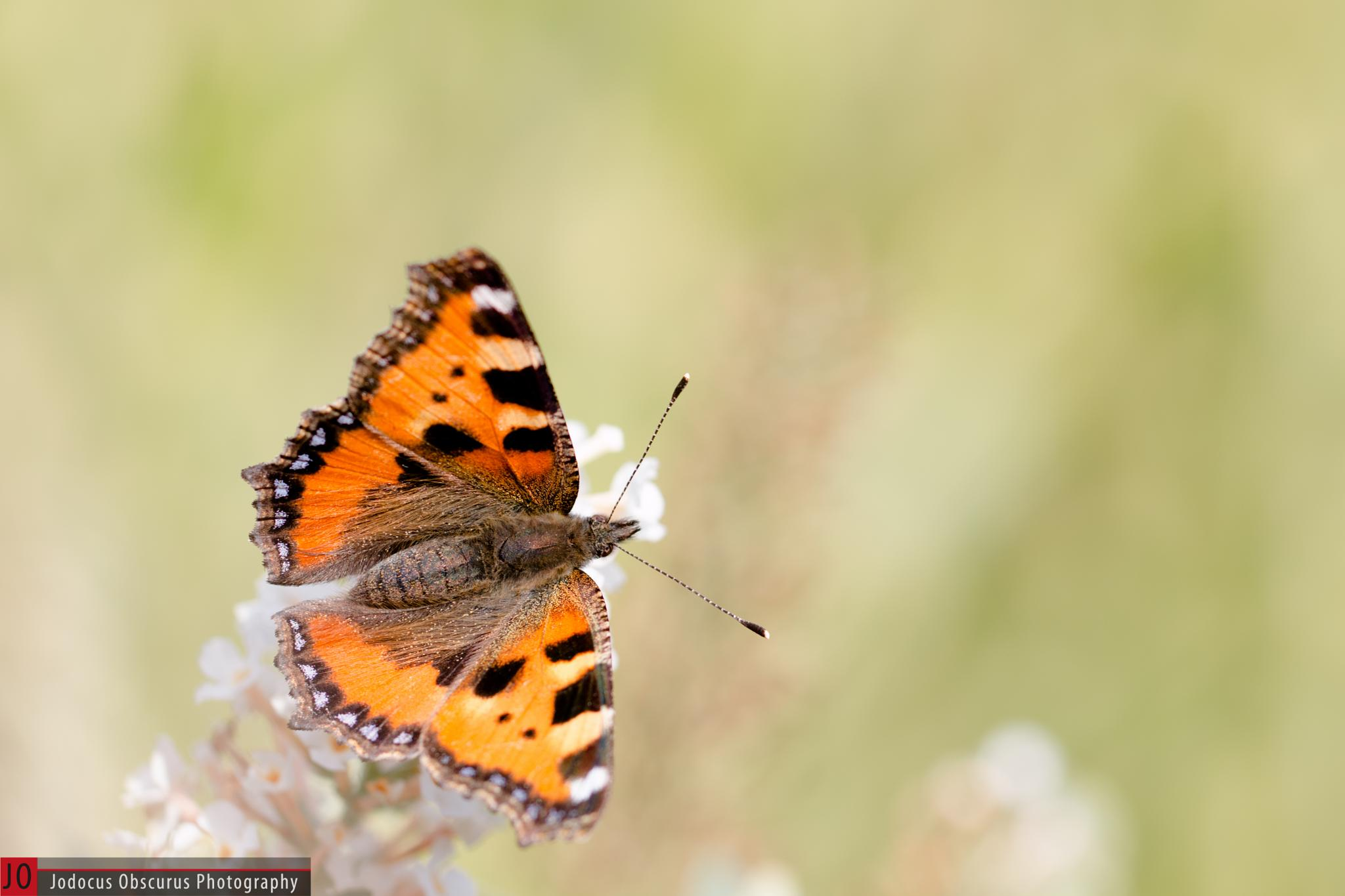Small tortoiseshell by JobstMeese