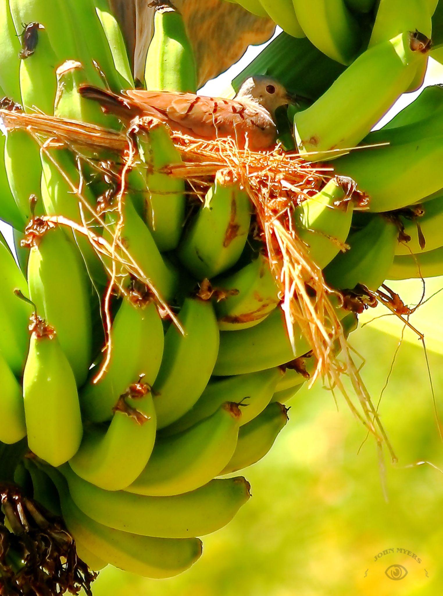 05.09.14 Banana Dove Nest by John T. Myers III
