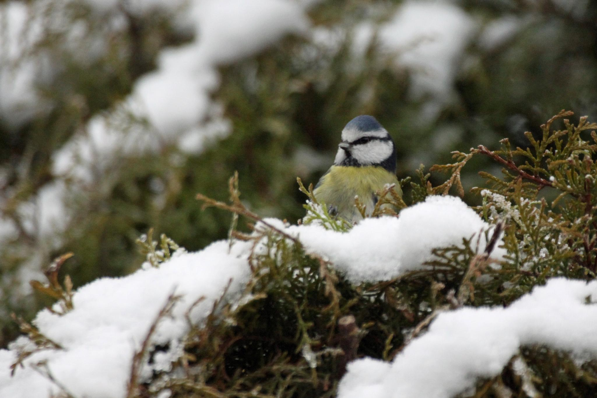 Blue Tit inthe Snow by Gerry Beever