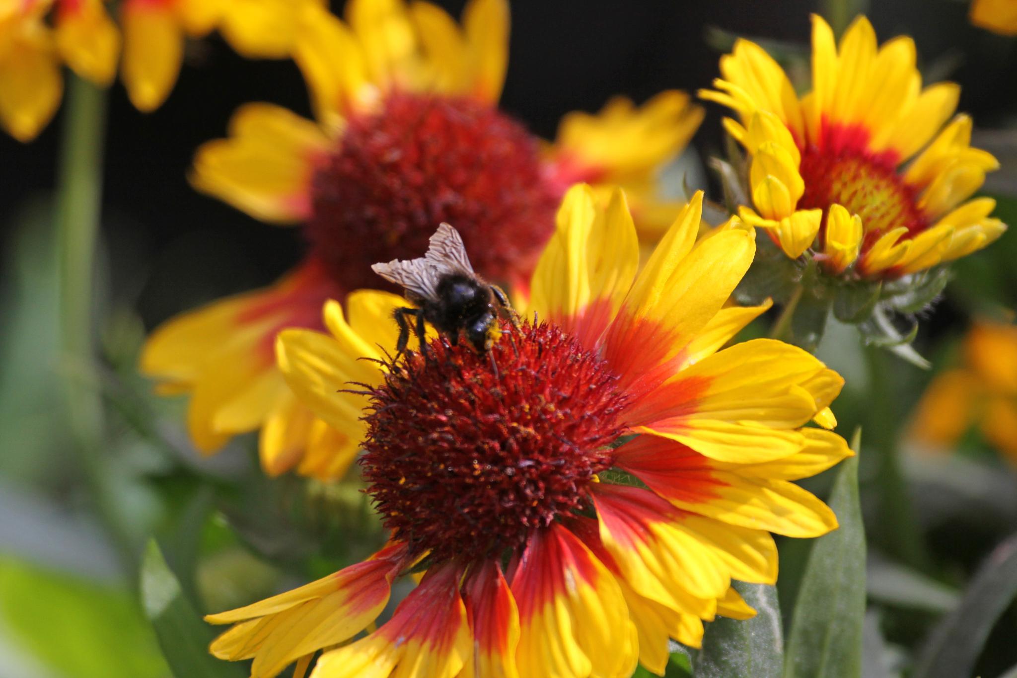 Bee on Gaillardia by Gerry Beever
