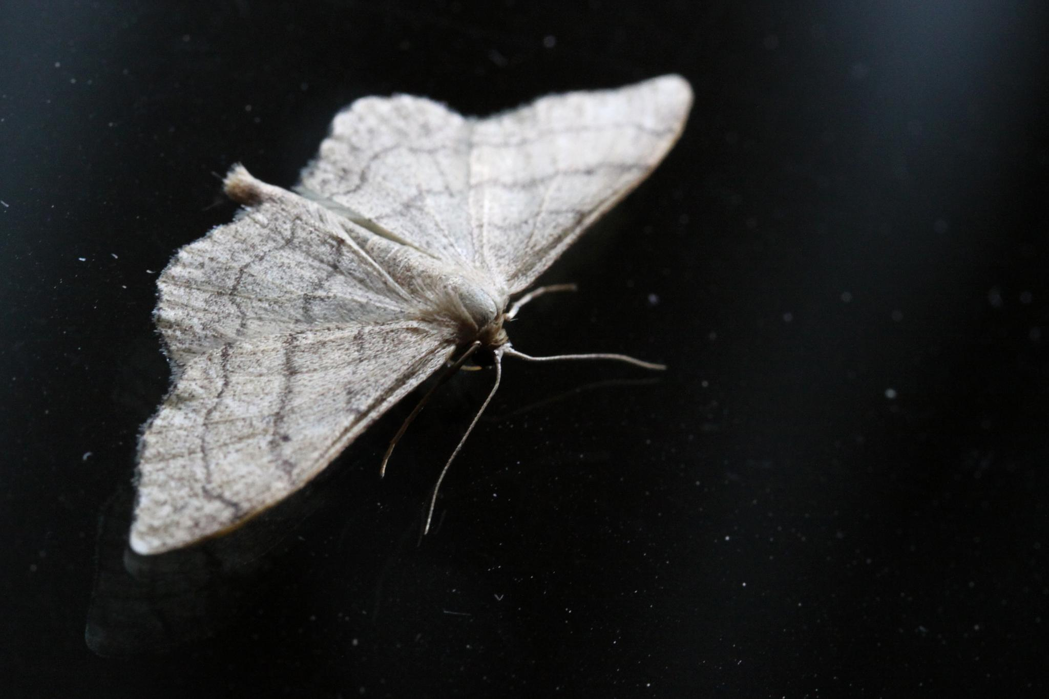 Riband Wave Moth  by Gerry Beever
