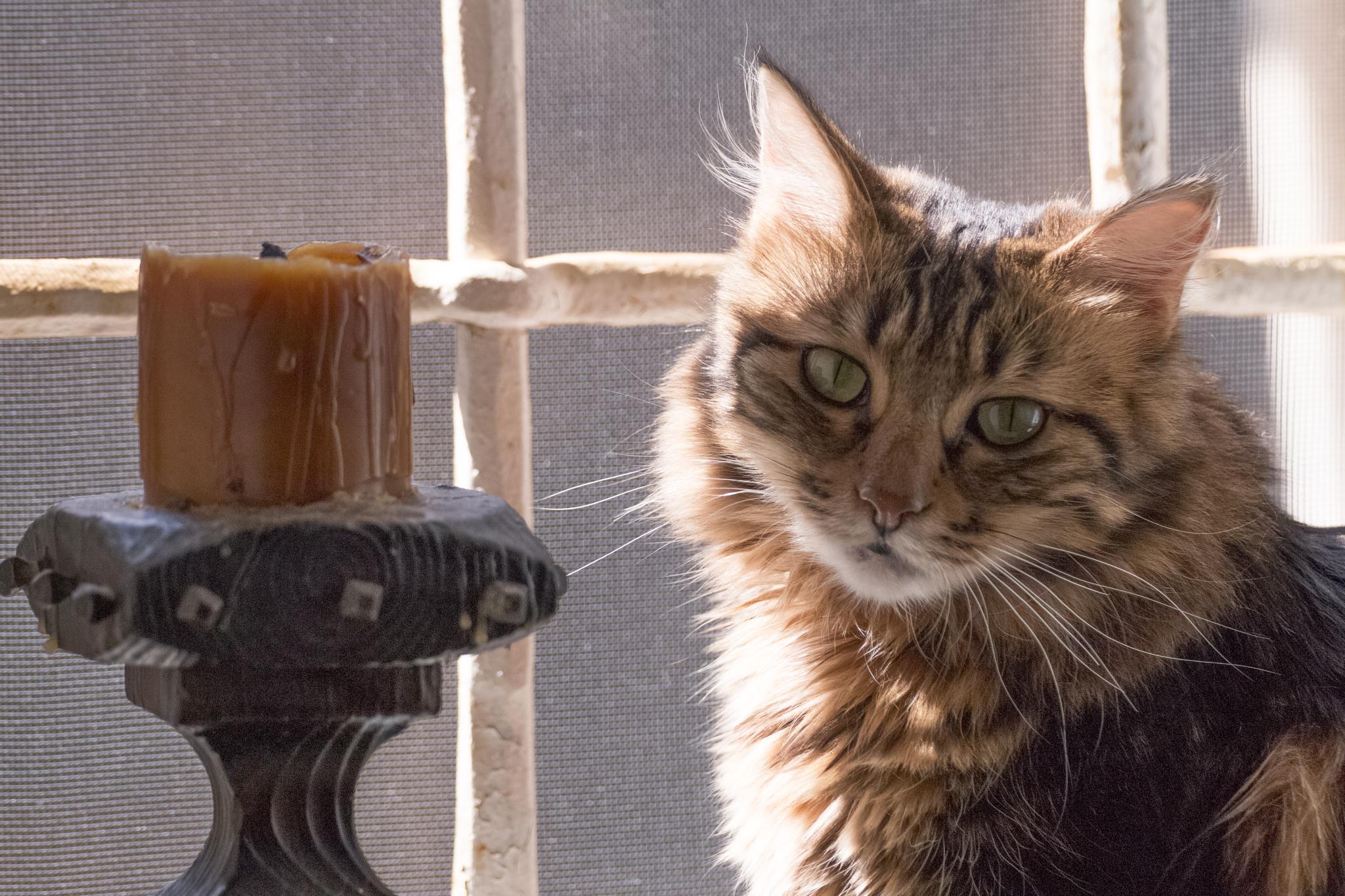 """my little cat """" Chanel """"  by massimo.rivaroli"""