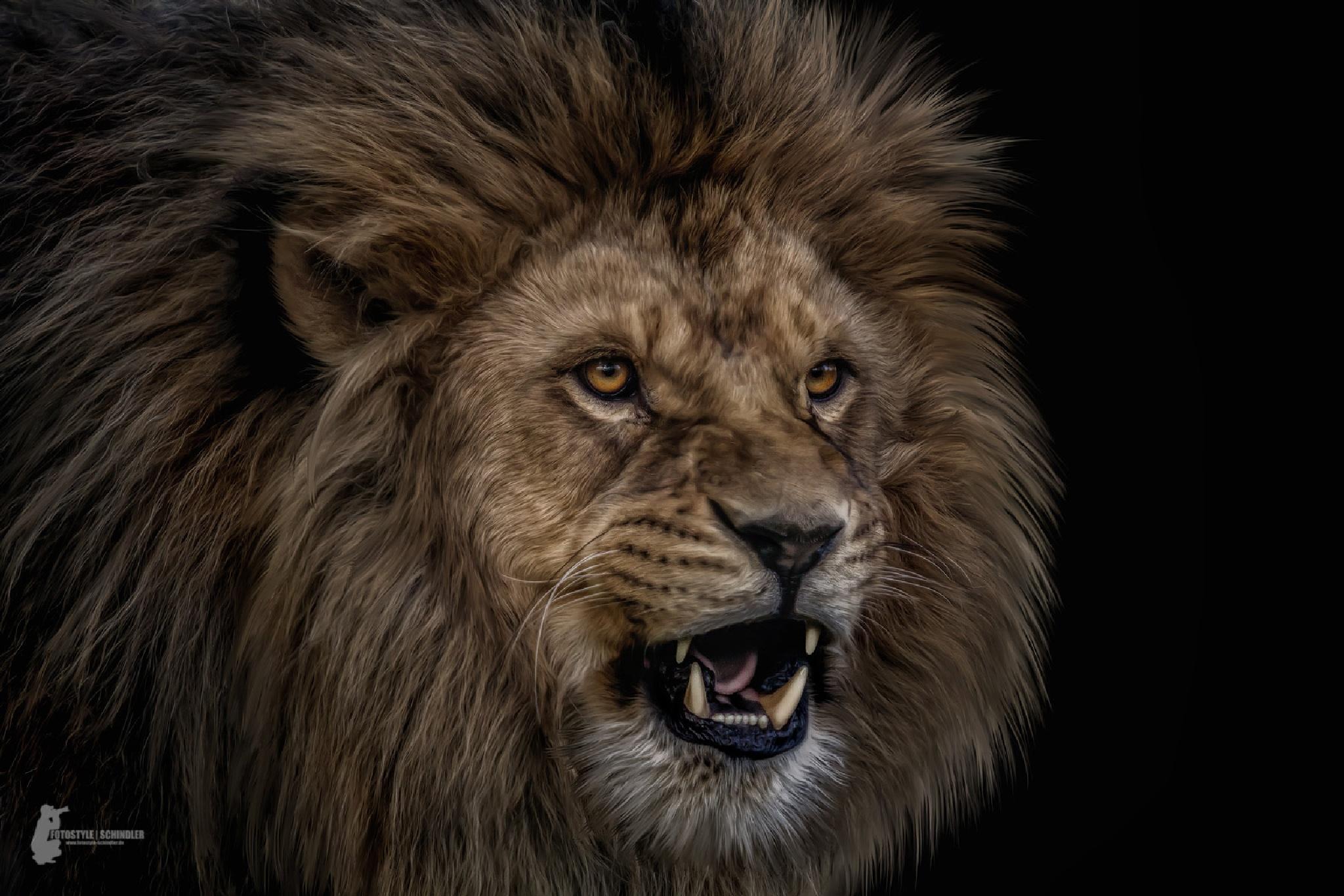 Lion-Portrait by FotostyleSchindler