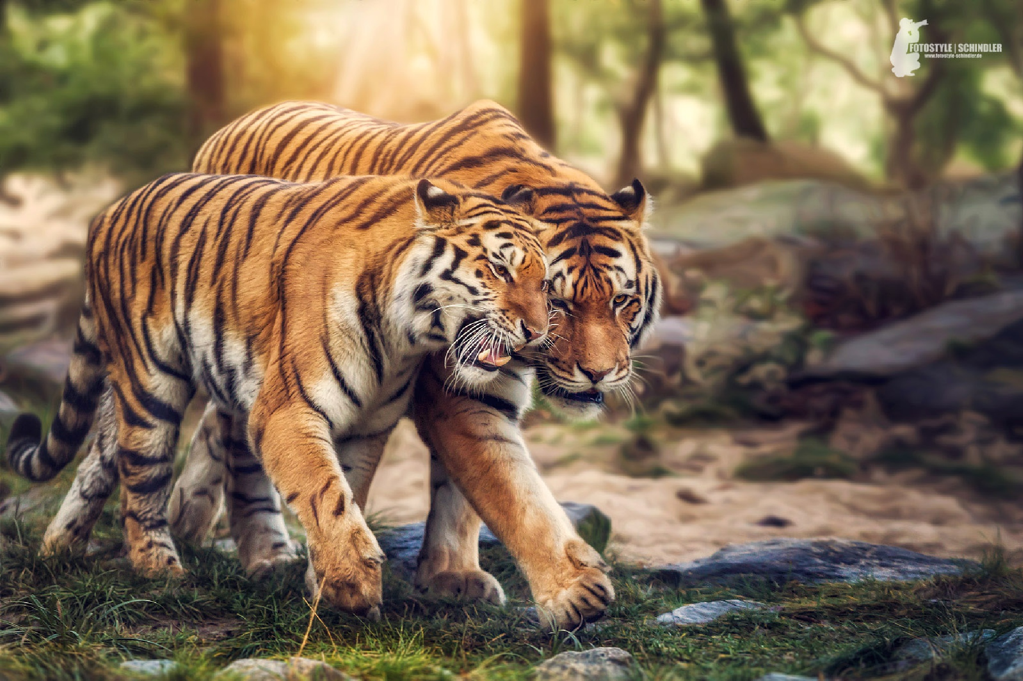 Tiger Love by FotostyleSchindler