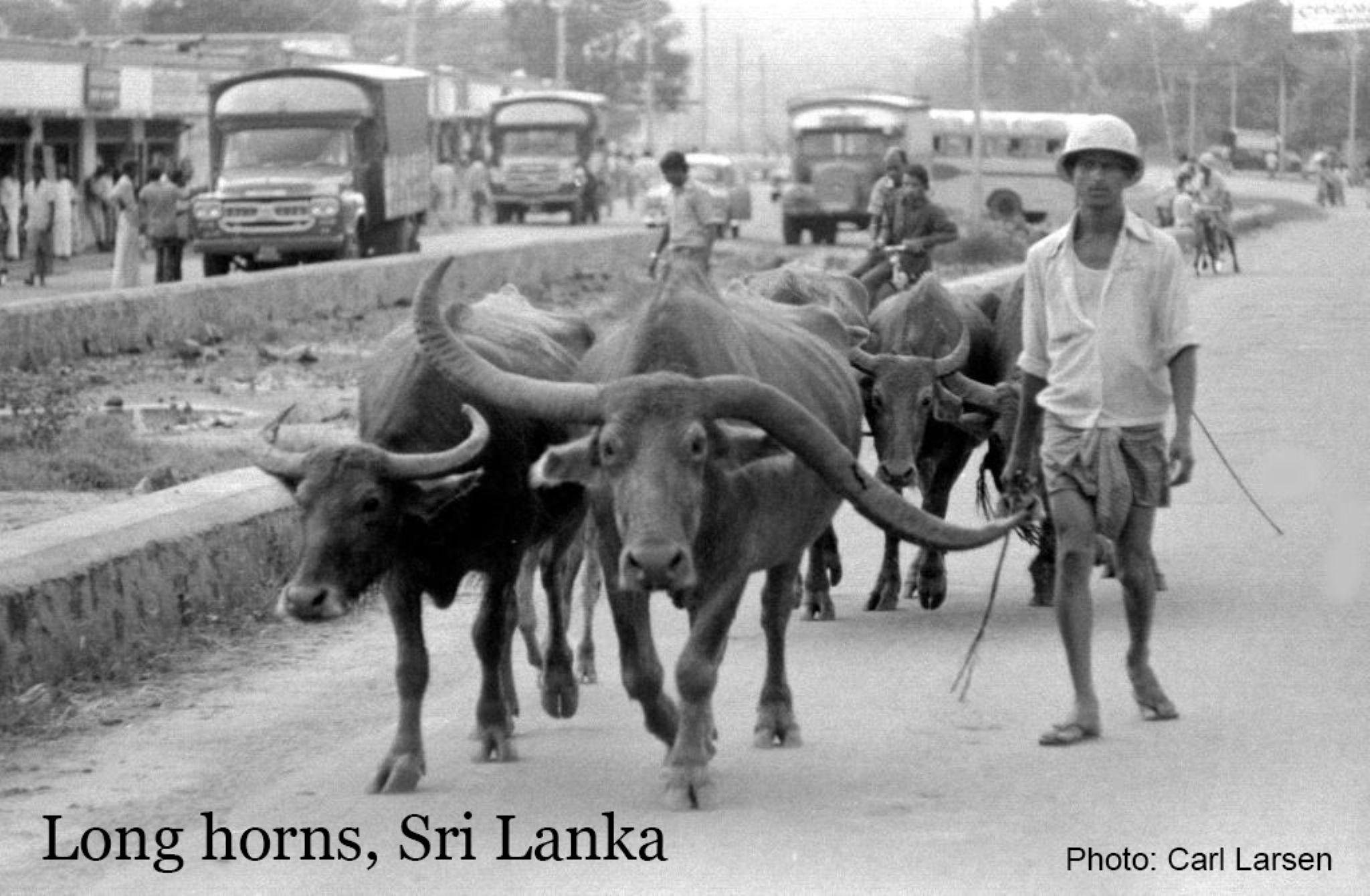 Long horns by lars.erlandsson.9